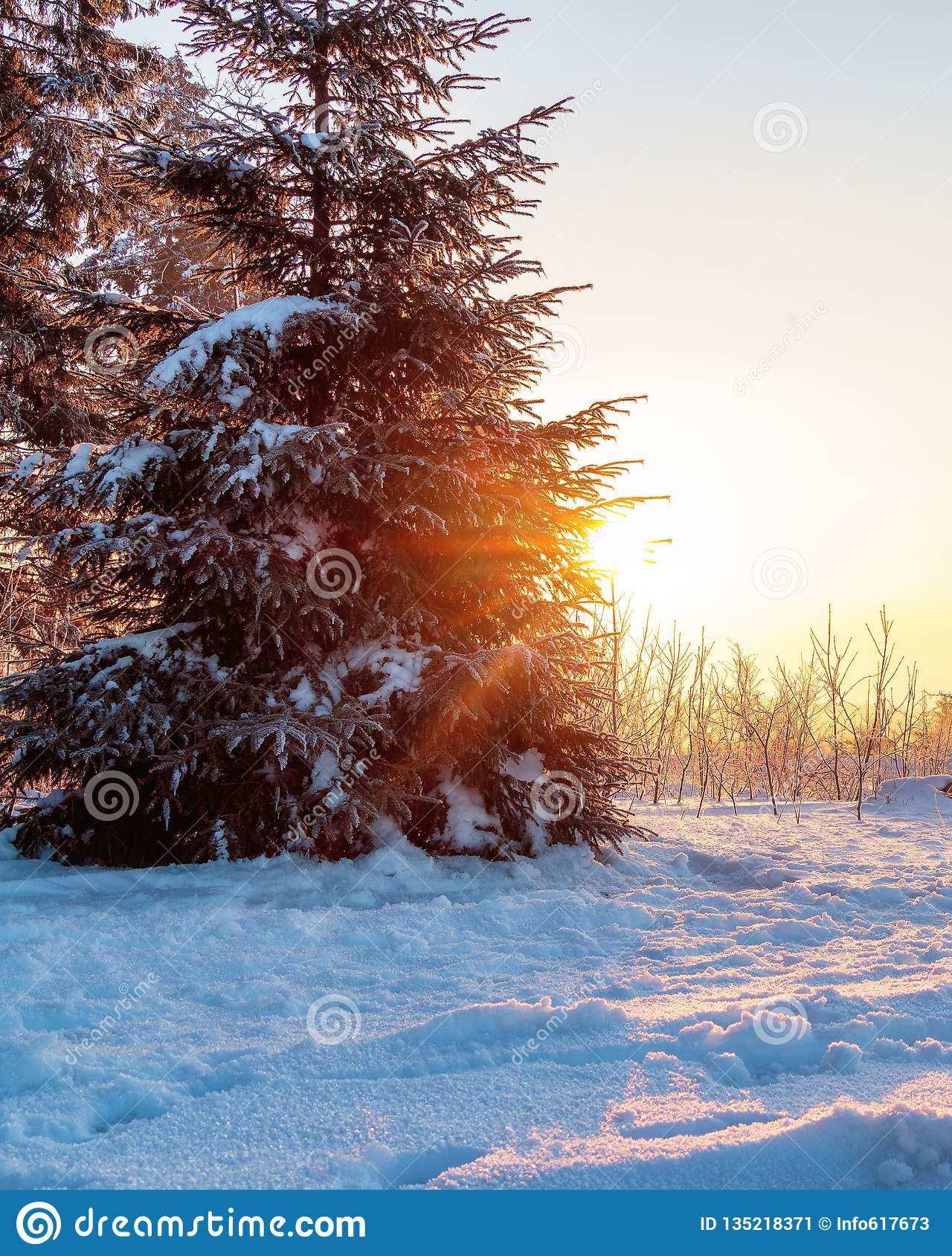 Sunrise behind a snow-covered fir tree.