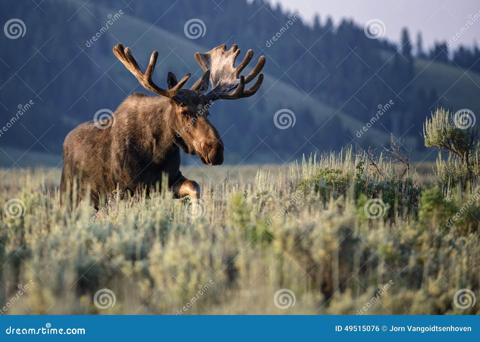 Sunrise bull moose in velvet
