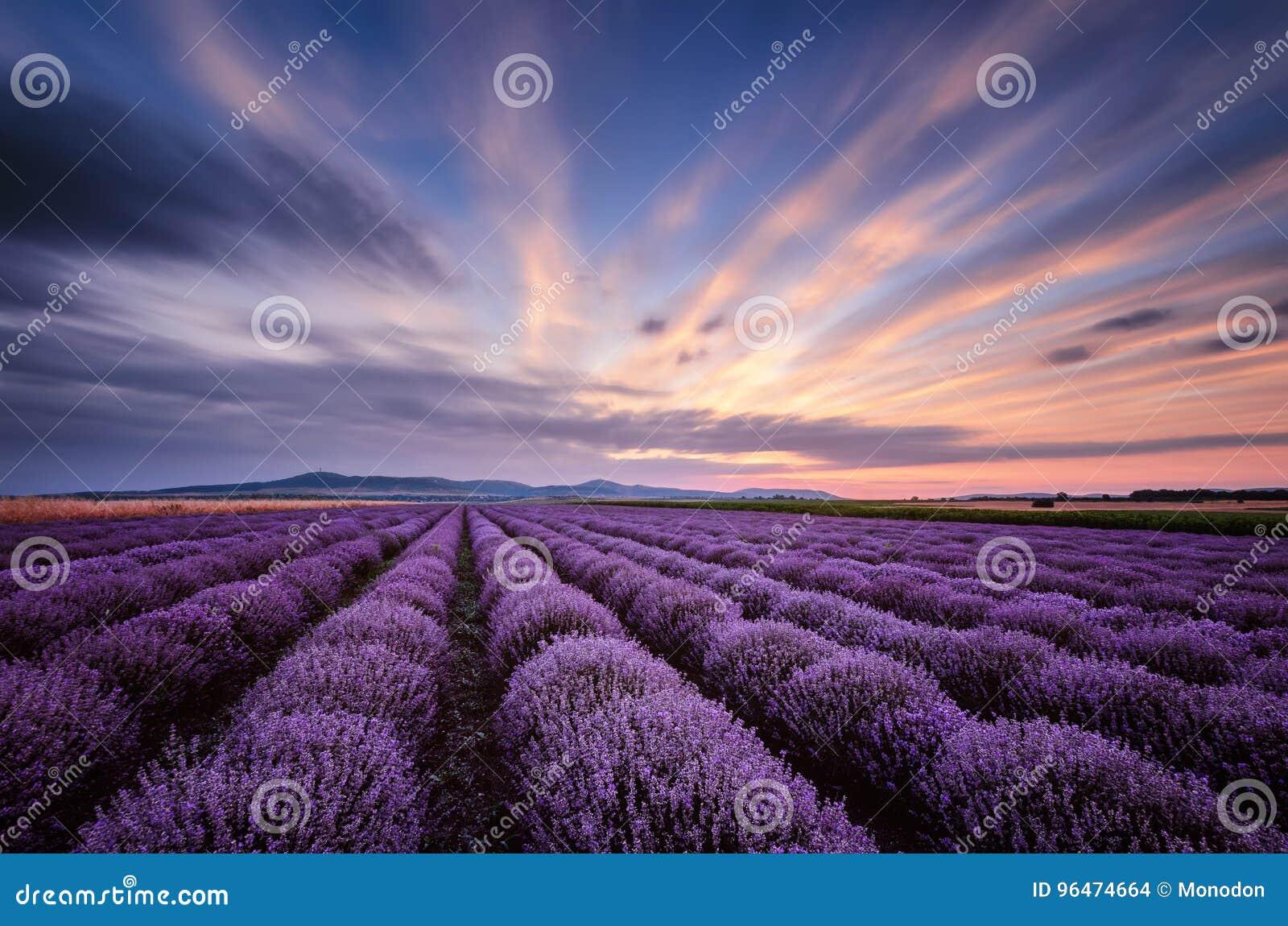 Before sunrise in lavender field