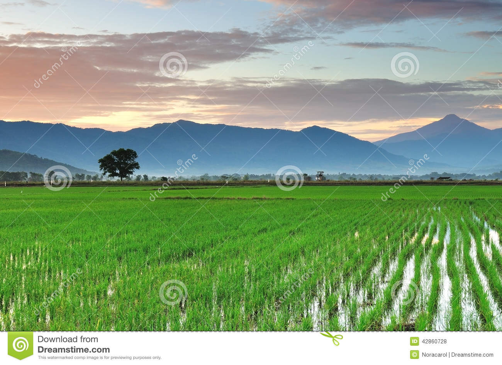 Kota Belud Malaysia  city pictures gallery : ... over paddy field, kota belud, kota kinabalu sabah borneo malaysia