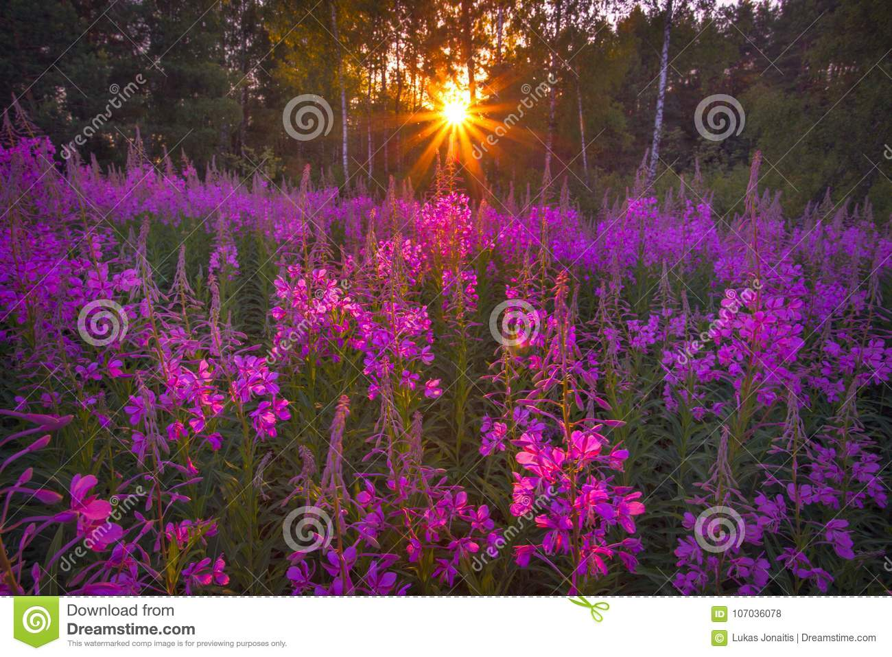 Sunset In The Field Of Flowers Stock Photo Image Of Growth Harvest 107036078