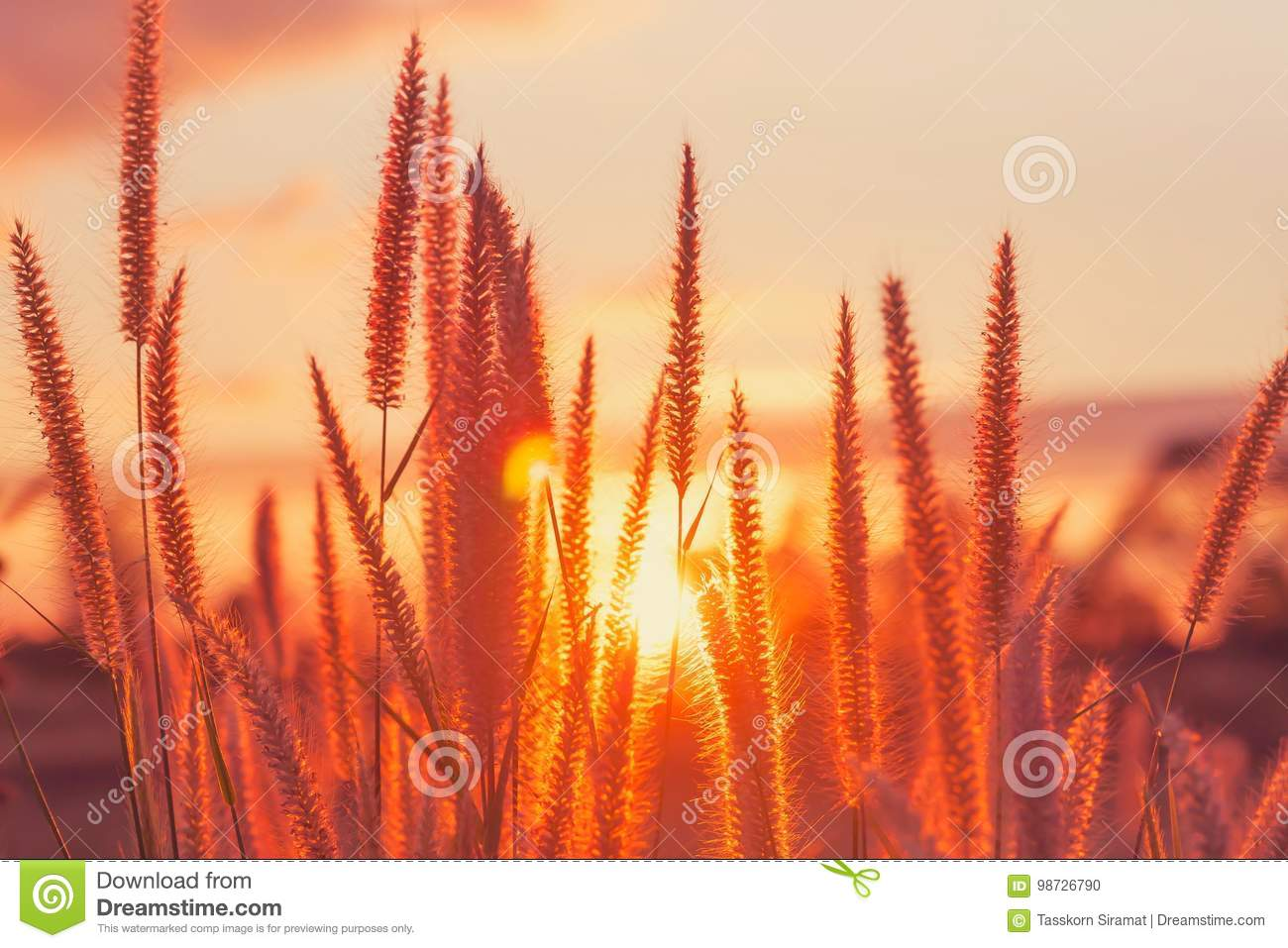 sunset/grass flower with sunset background. Grass flower at sunset