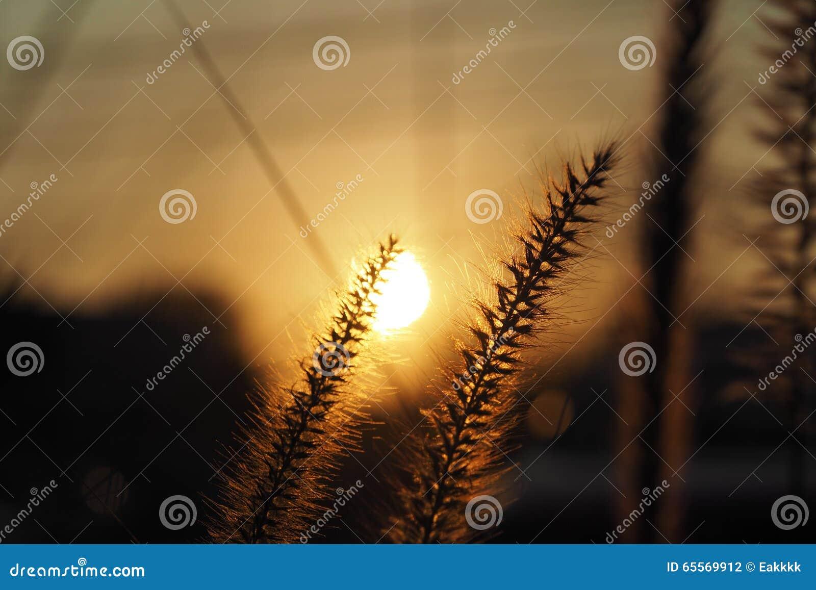 Sunset/Grass flower with sunset light background