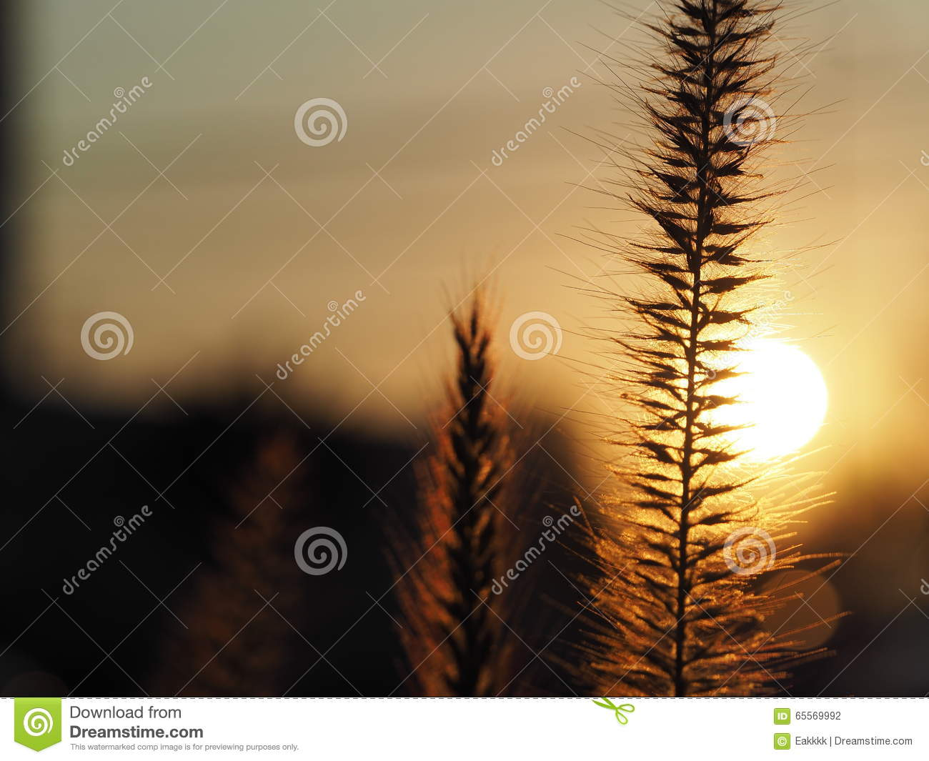 Sunset/Grass flower with sunset light background