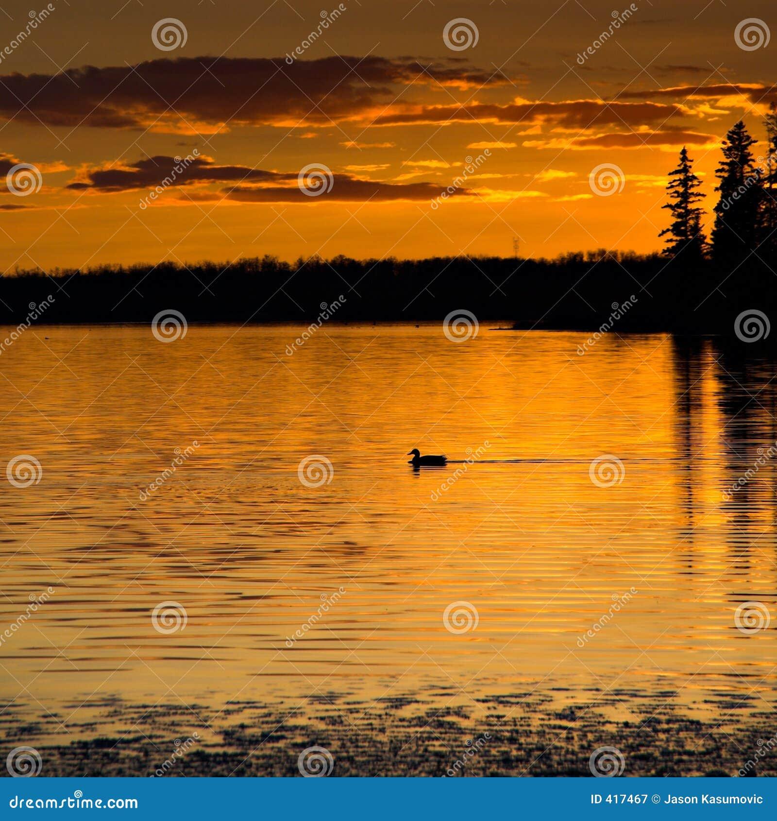 Sunset Loon