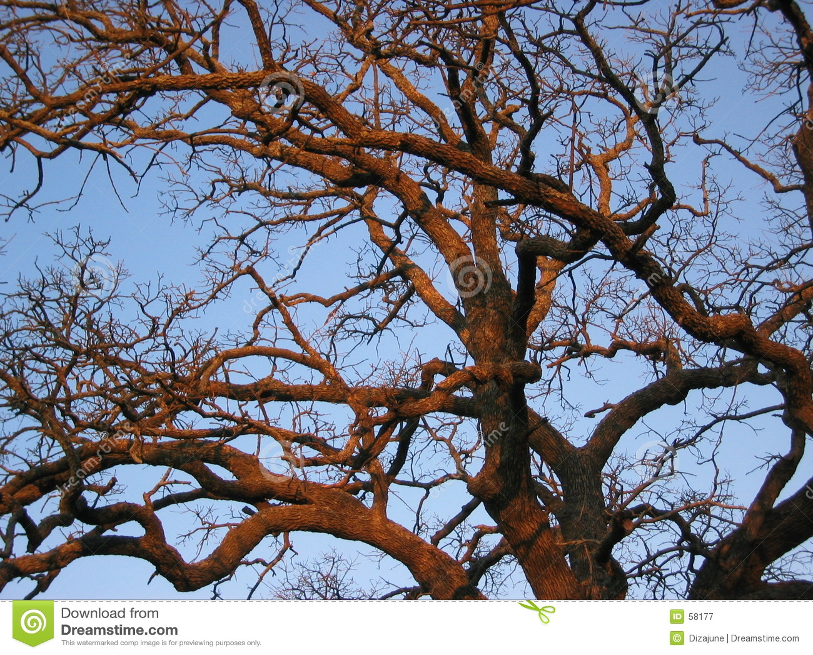 Sunset oak tree