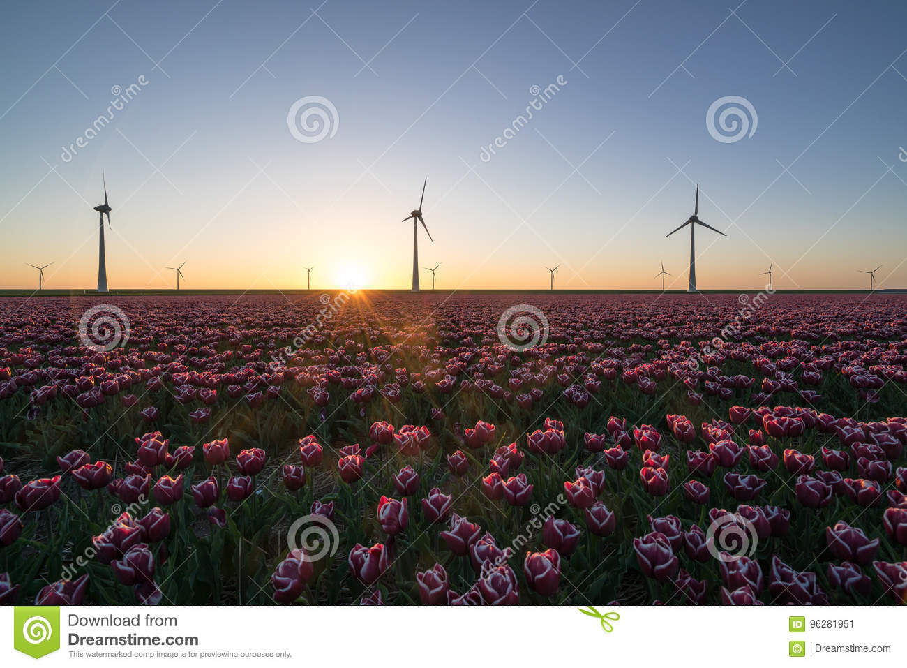 Sunset over Dutch tulip fields with a background of modern windmills