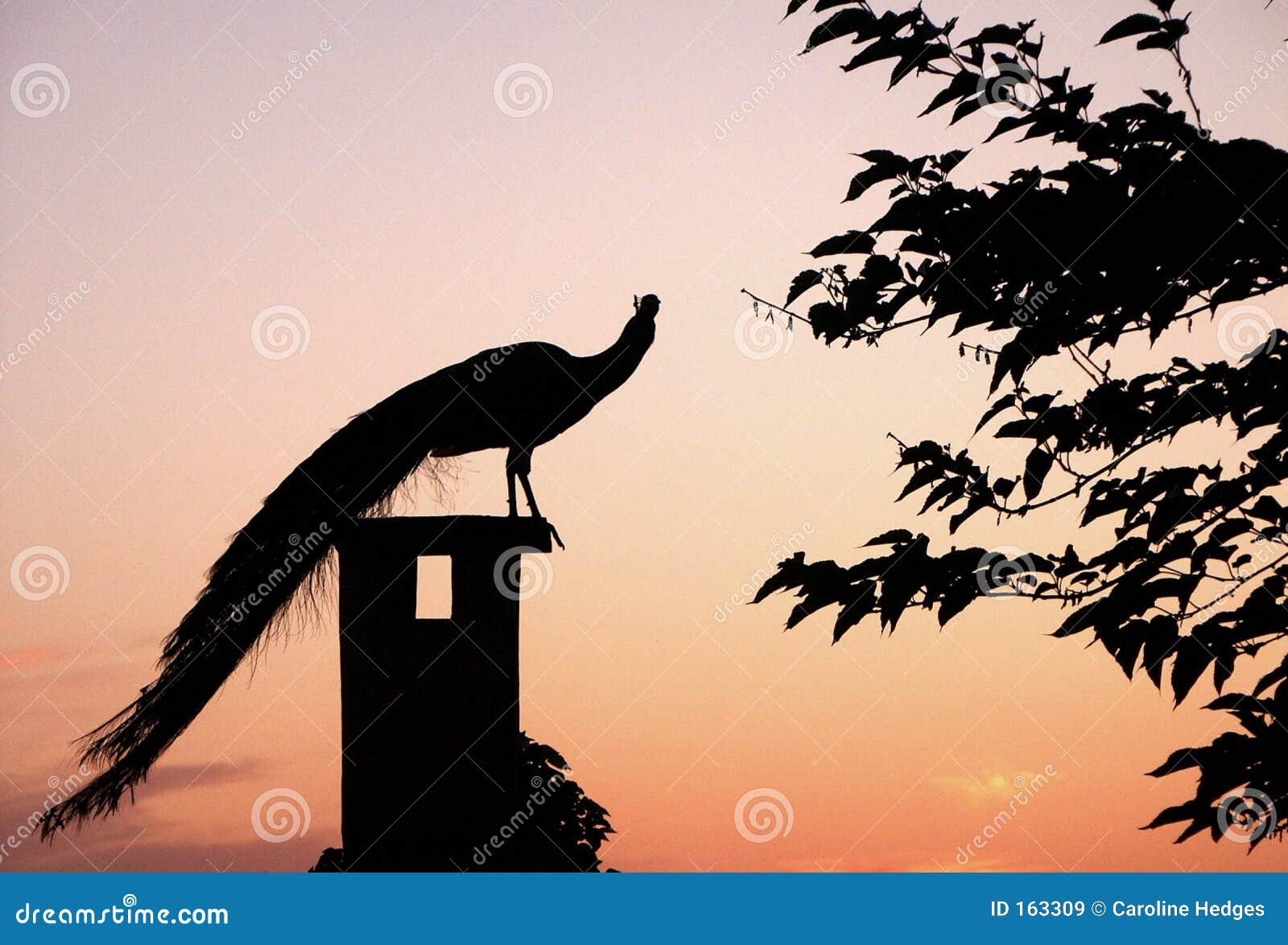 Sunset Peacock