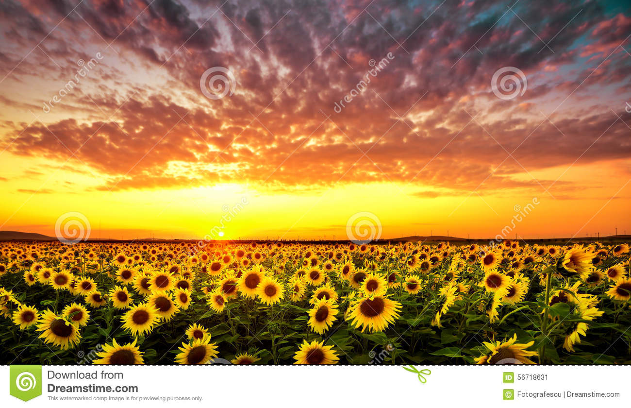 Sunset With Sunflower Stock Image Image Of Outdoor Filed 56718631