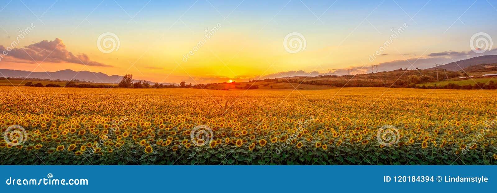 Sunset with sunflower field
