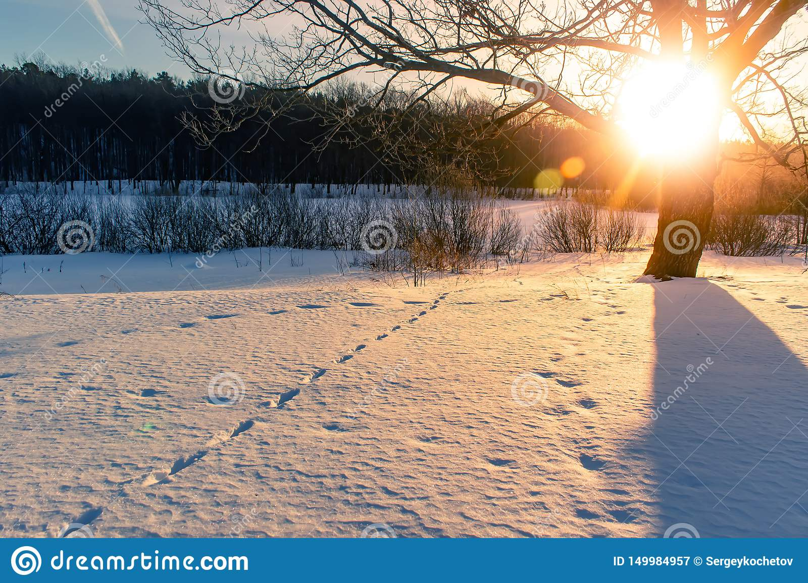 Sunset in a winter forest. Traces of animals in the snow