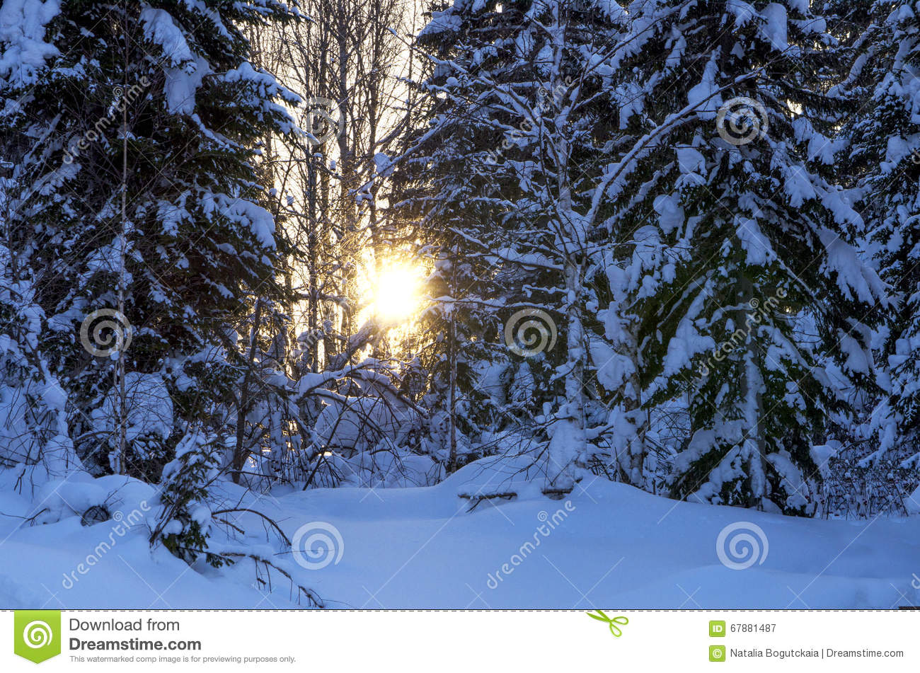 Sunset in the wood in the winter in Russia Siberia