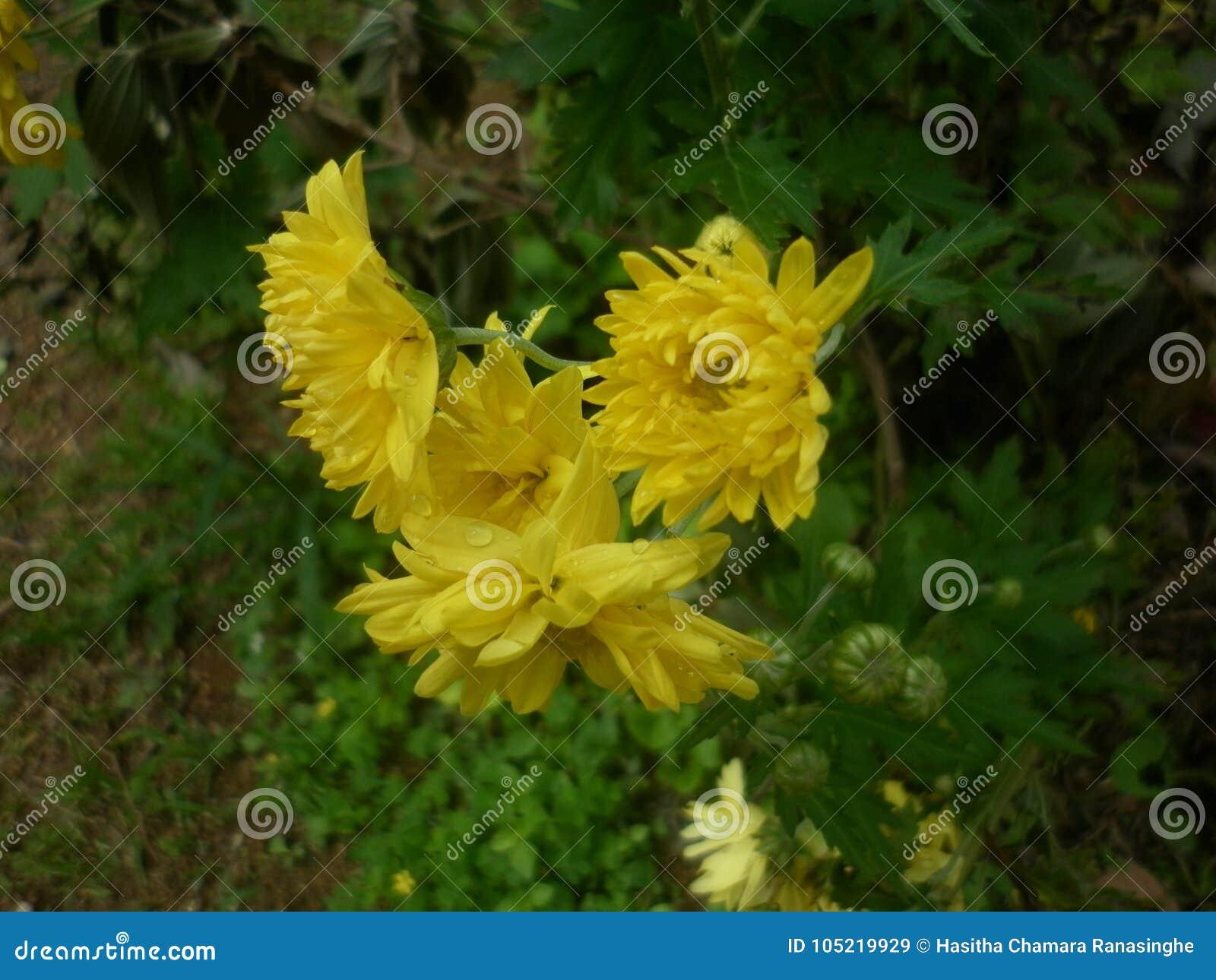 Sunshine Yellow Flowers Stock Image Image Of Nature 105219929