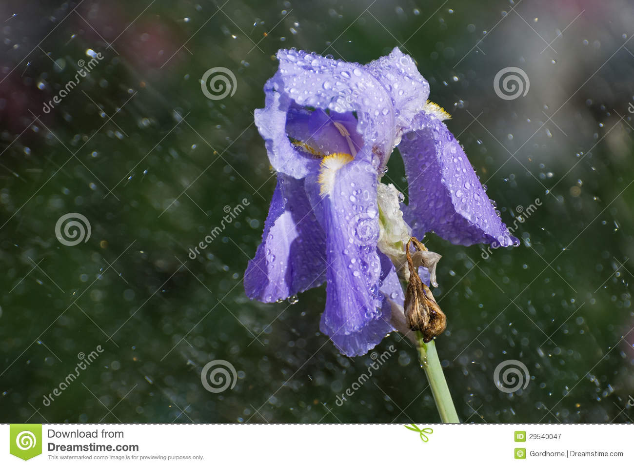 Sunshower On Iris Royalty Free Stock Photography  Image 29540047 # Sunshower Blue_021322