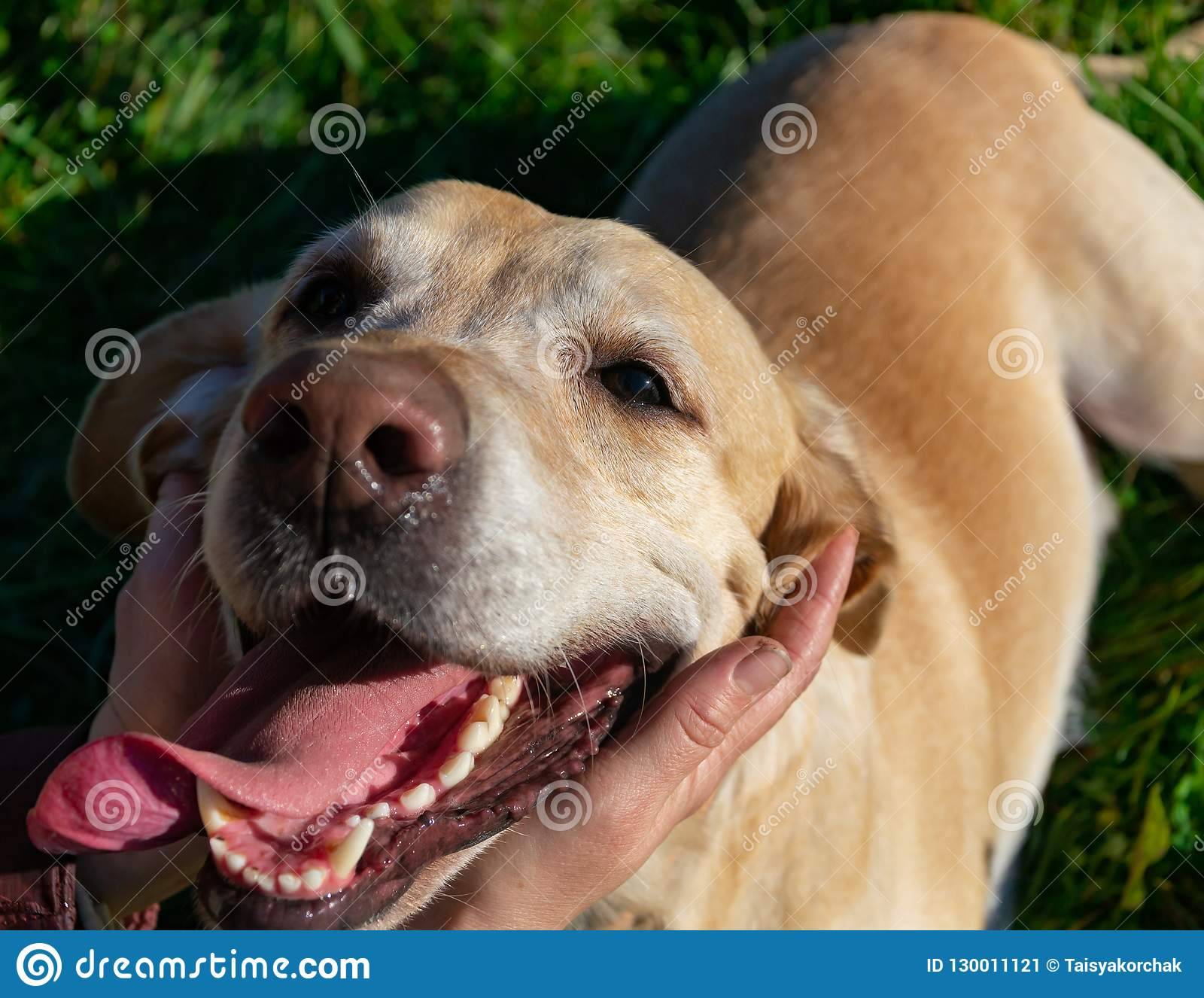 Sunstroke, Health Of Pets In The Summer  Labrador  Stock