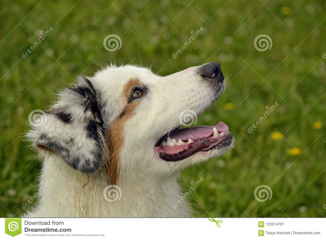 Young Australian Shepherd Dog Aussie Merry Fuss Puppies Training Of Dogs Dog Education Cynology Intensive Training Of Young Stock Image Image Of Bite Eyes 123014707
