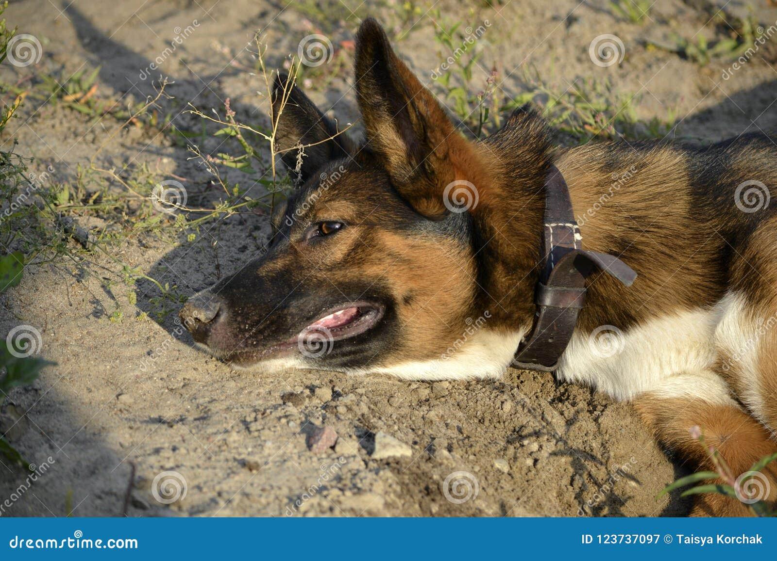 Sunstroke, zdrowie zwierzęta domowe w lecie Dlaczego ochraniać twój psa od przegrzania