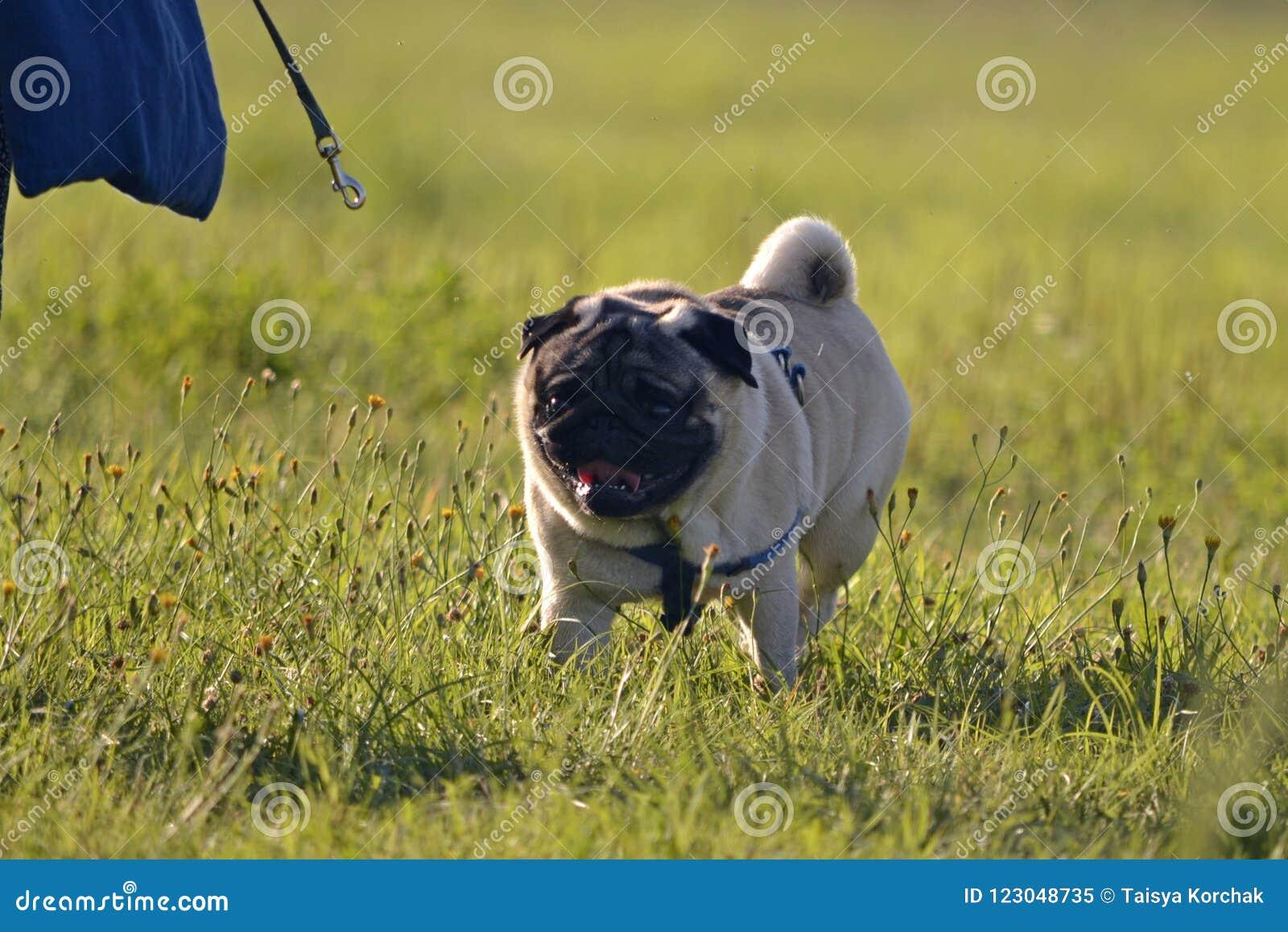Sunstroke, zdrowie zwierzęta domowe w lecie Młody pies słońce właściciel zabawna twarz Dlaczego ochraniać twój psa od przegrzania