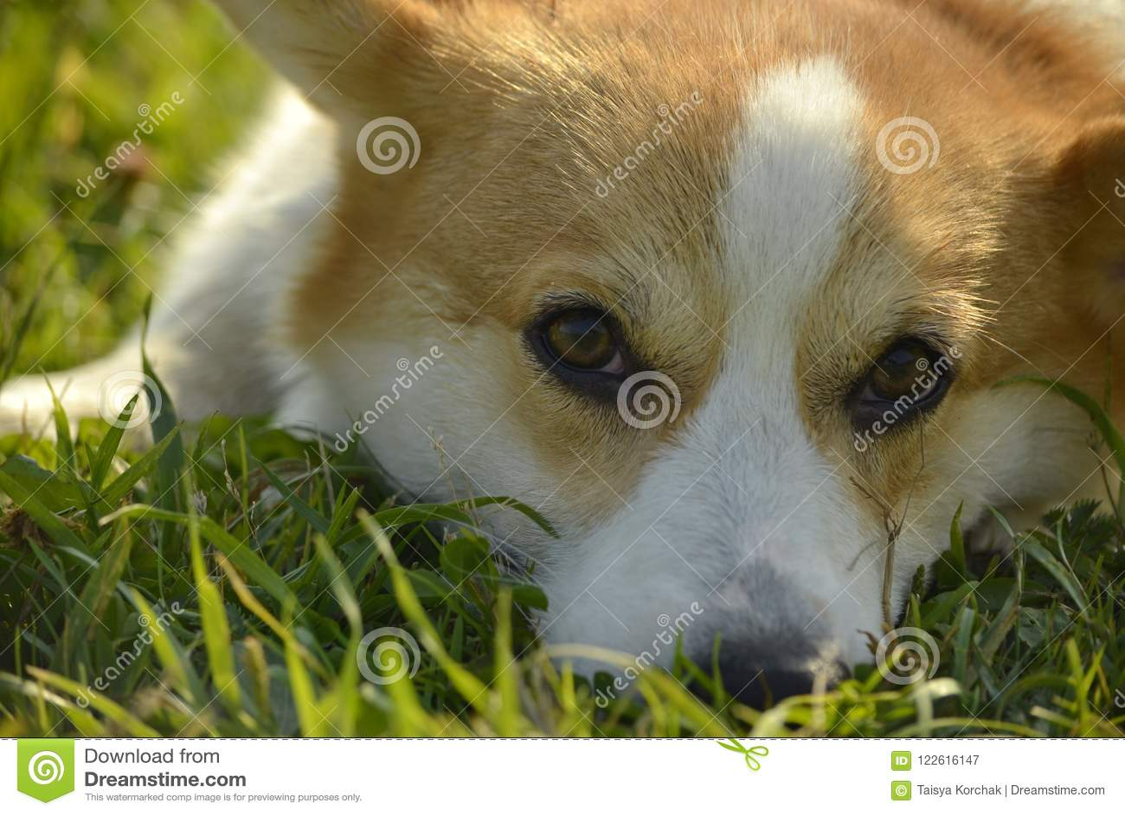 Sunstroke, zdrowie zwierzęta domowe w lecie Szczeniaka Corgi pembroke na spacerze Dlaczego ochraniać twój psa od przegrzania T