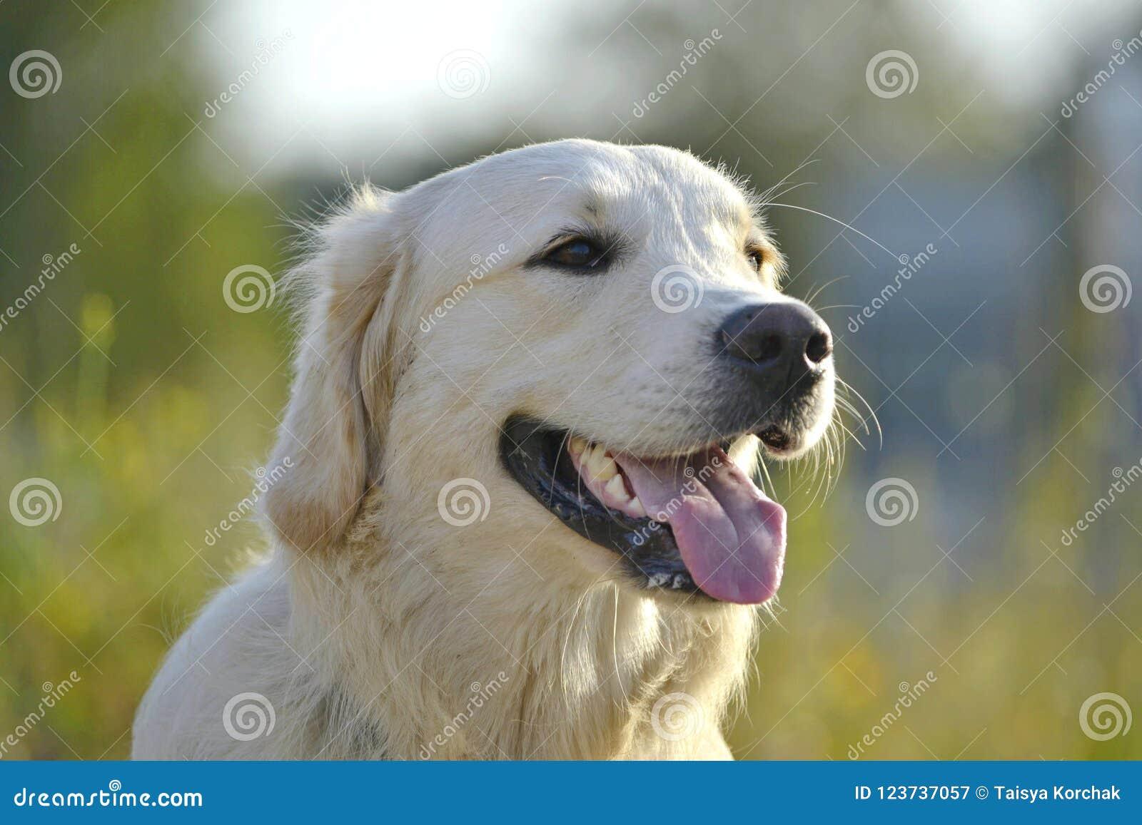 Sunstroke, zdrowie zwierzęta domowe w lecie tła psi szary labradora szczeniaka tyły aporteru widok
