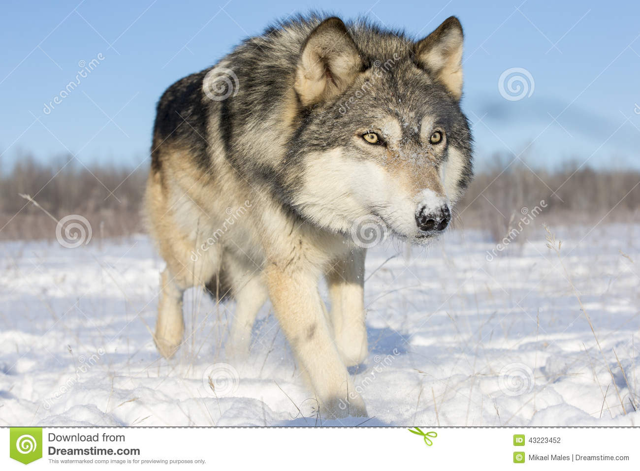 Download Super Close Picture Of Timber Wolf In Snow Stock Photo - Image of canines, cute: 43223452
