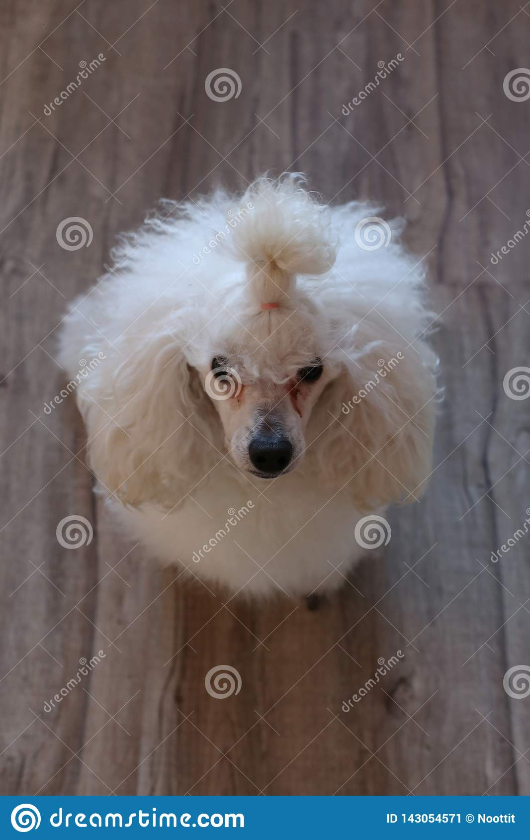 Super Cute and Fluffy White Miniature Poodle