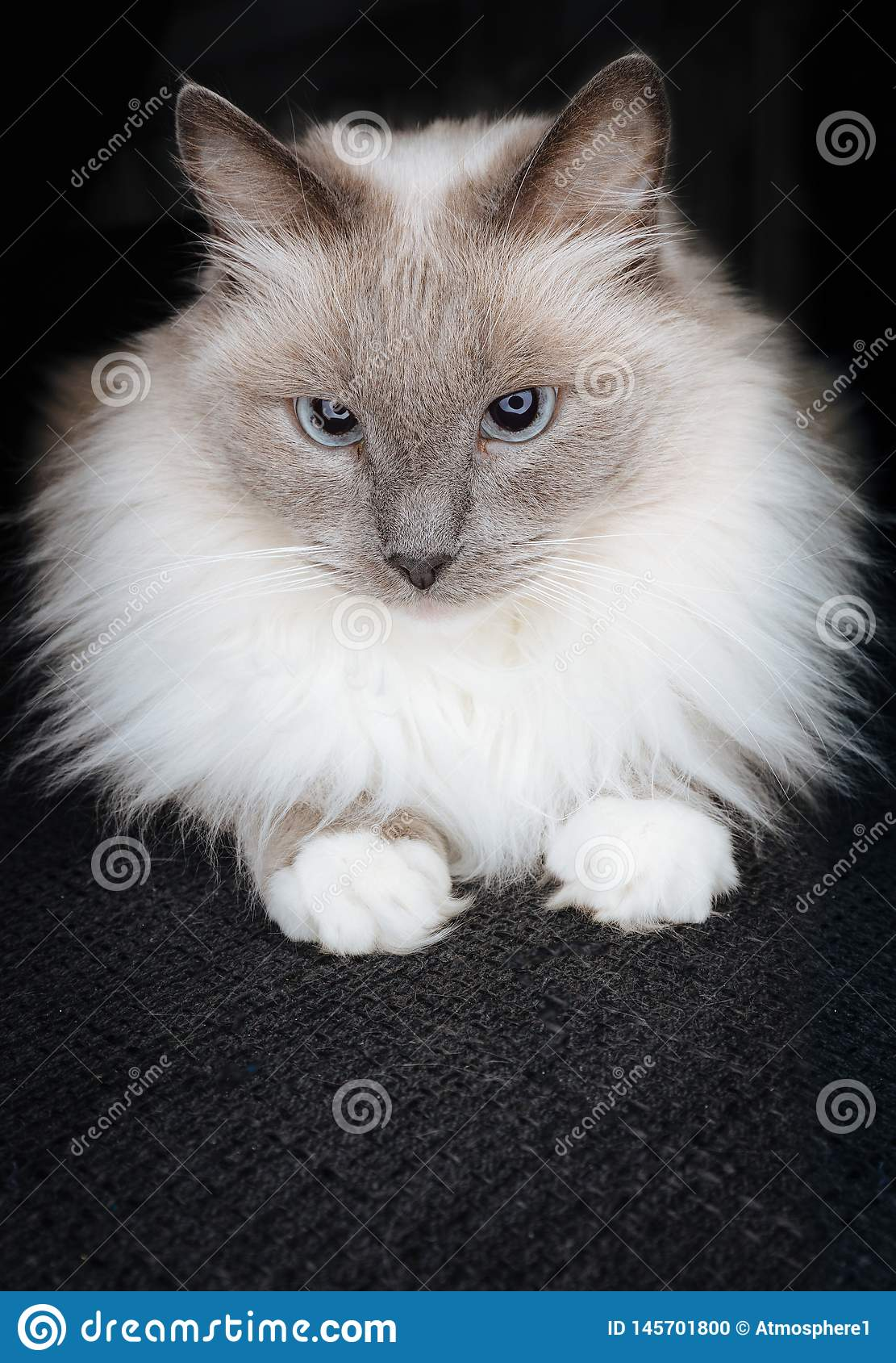Super cute ragdoll cat posing as a little ball of fur with beautiful catchy eyes and curious look