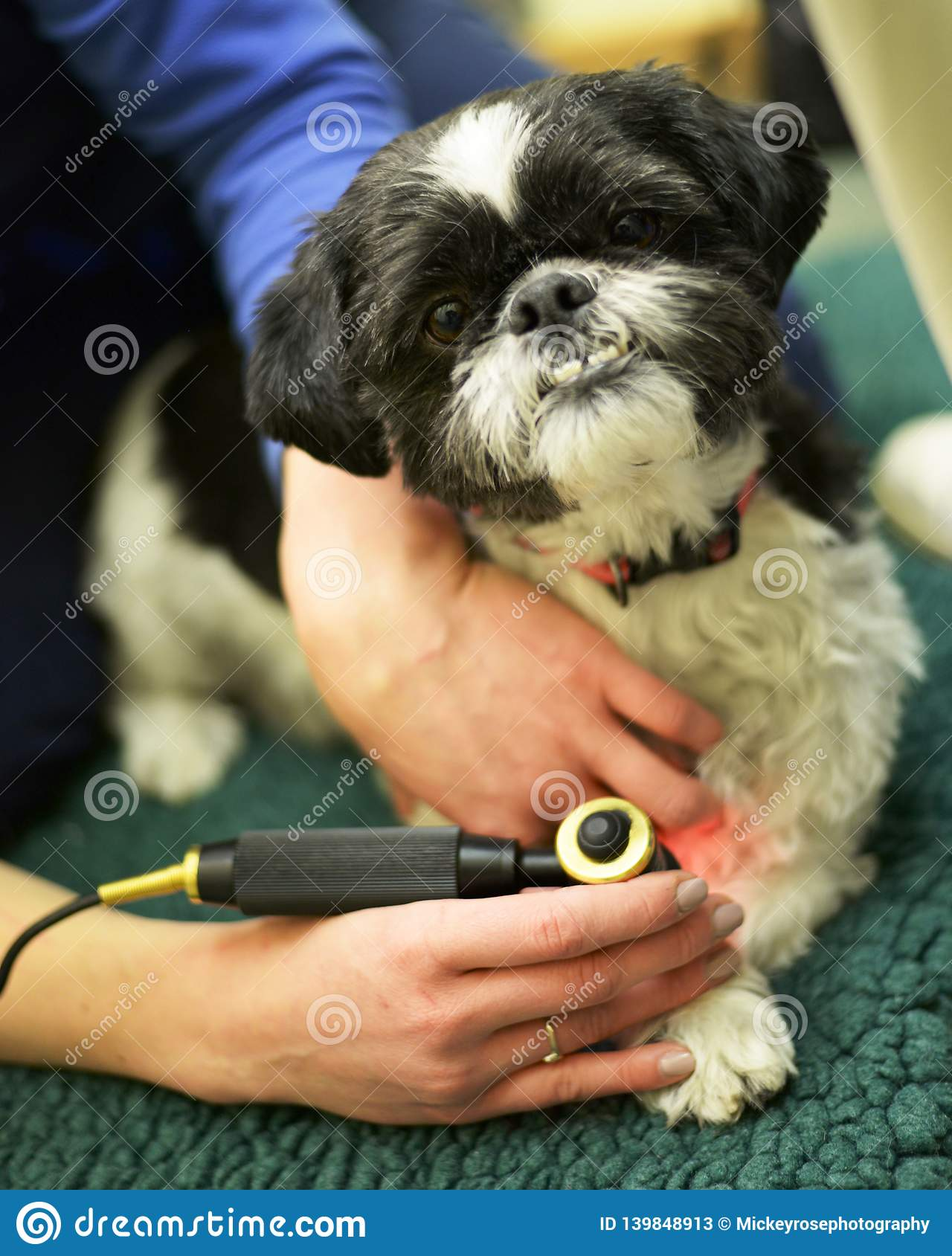 Dog receiving Physiotherapy at the Vets