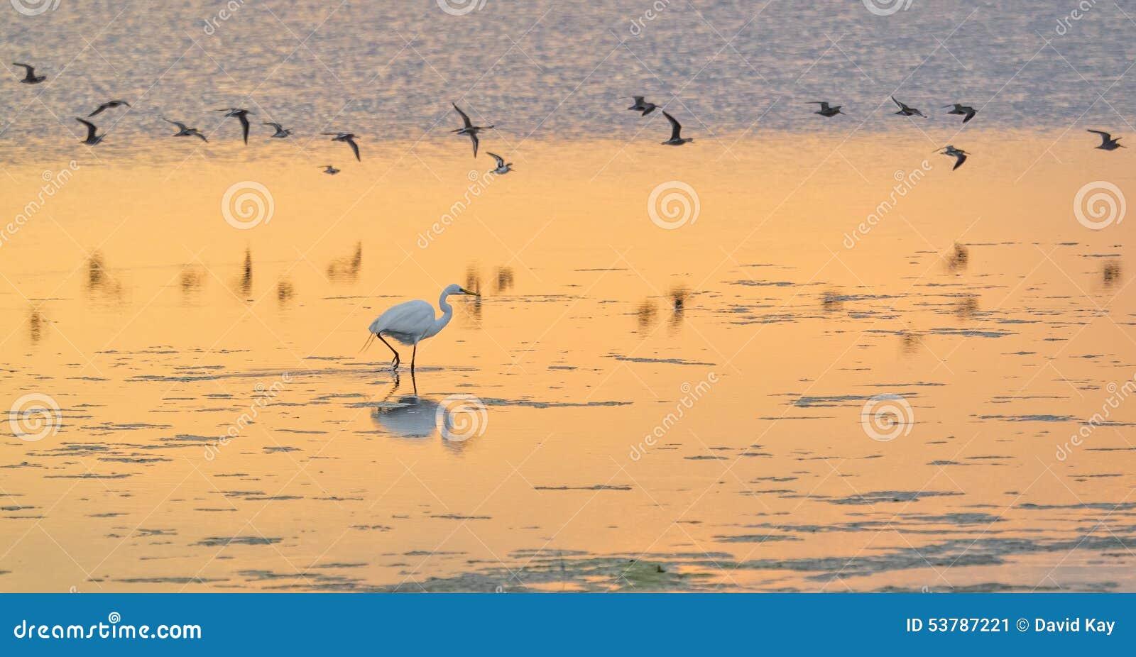 Super egret white