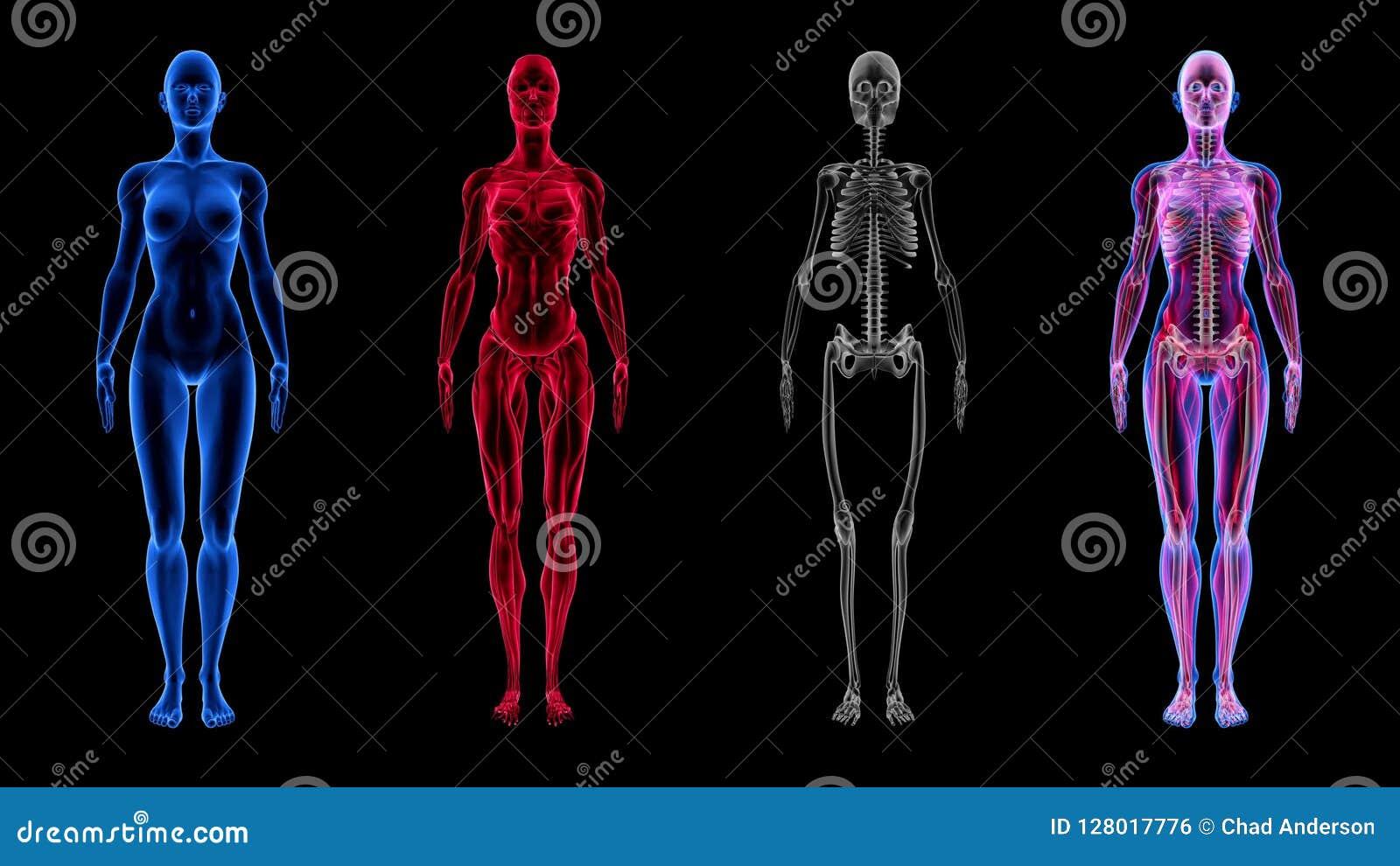 Human Female Anatomy 3d Animation Biology Science Technology Stock