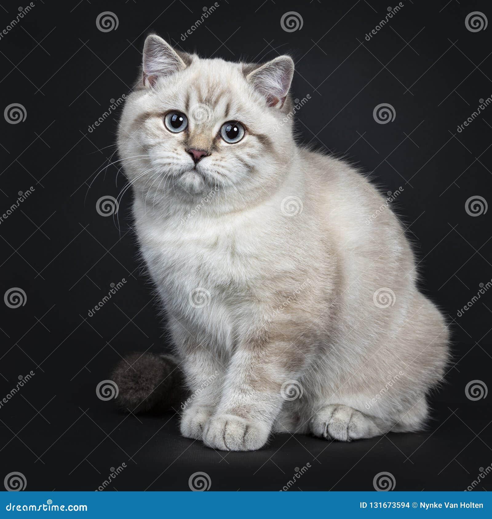 Super leuk blauw de kattenkatje van Shorthair van het gestreepte katpunt Brits die, op zwarte achtergrond wordt geïsoleerd