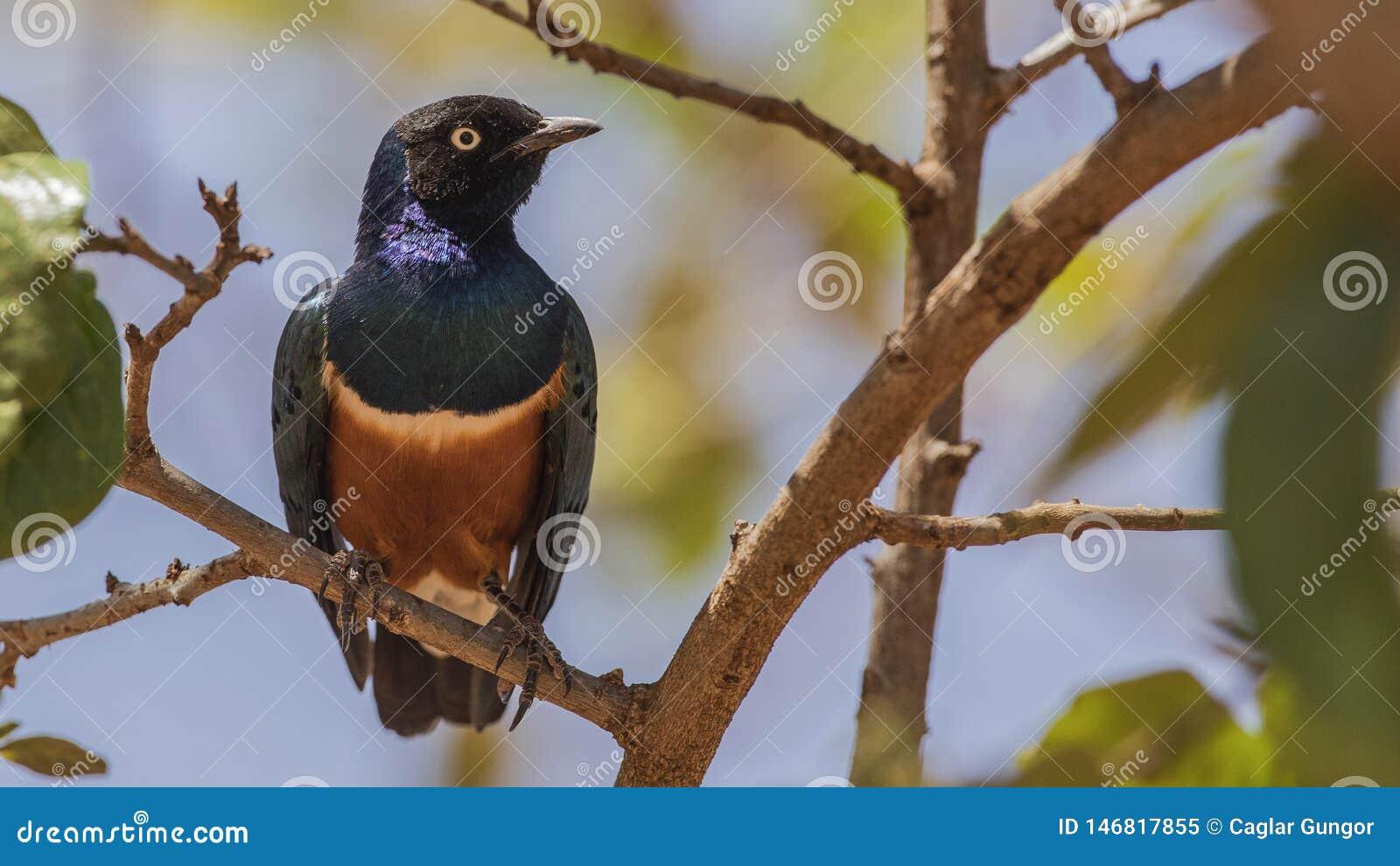 Superb Starling on Tree