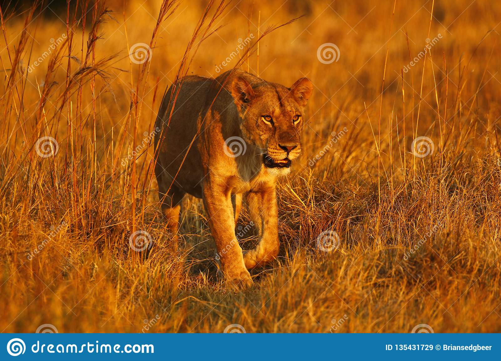 Superb young female lion in the pride