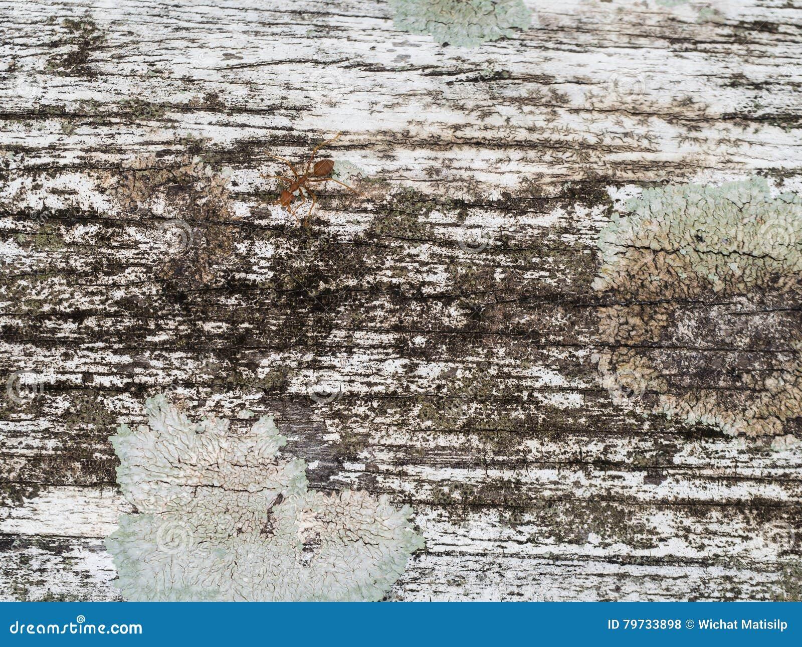 Superficie blanca de la madera dura con la hormiga roja