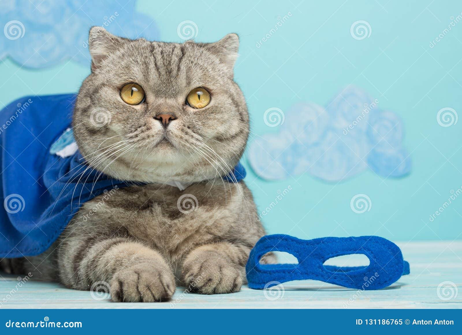 Superherokat, Schotse Whiskas met een blauw mantel en een masker Het concept een superhero, super kat, leider