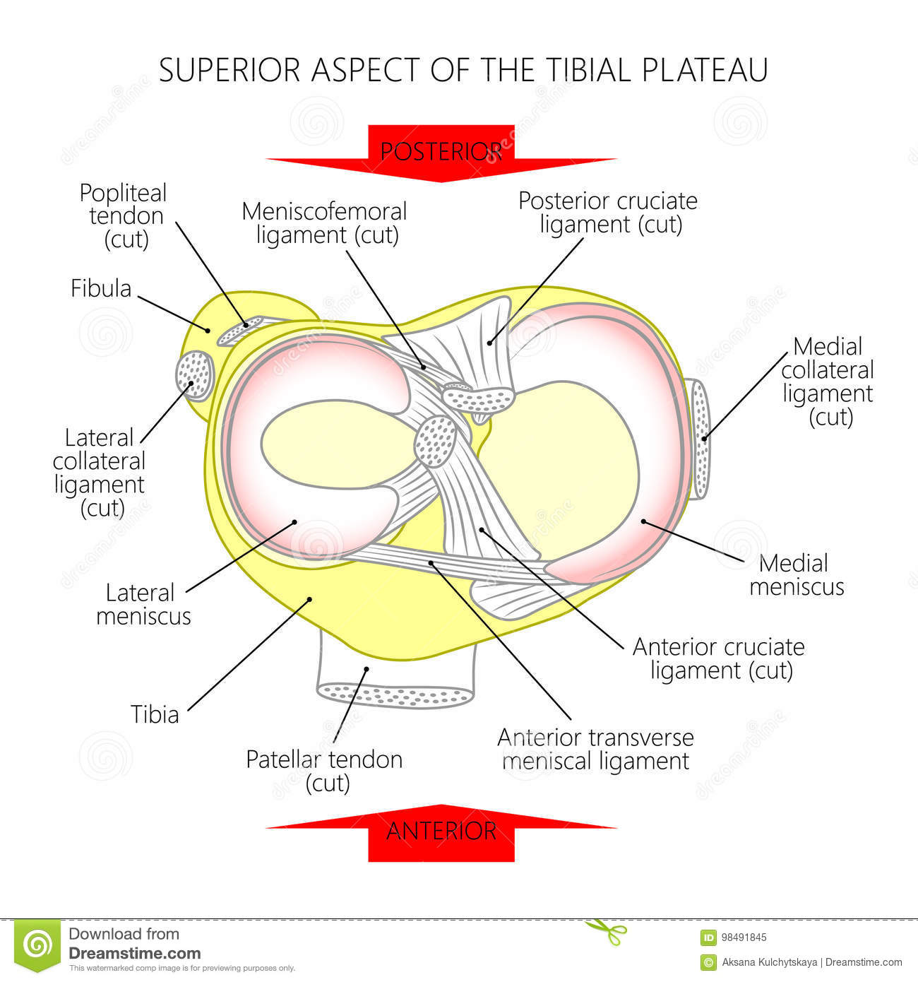 Superior Aspect Of The Tibial Plateau Stock Vector