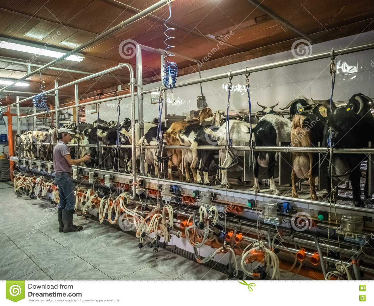 Supervising automated milking