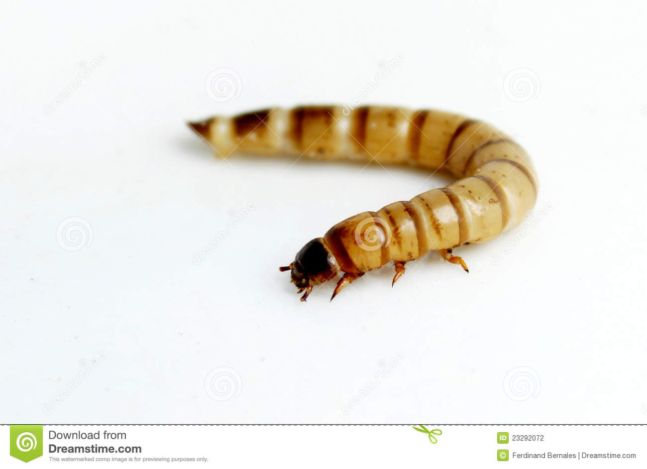 Superworm or Zophobas are one of the large species of worms which are ...