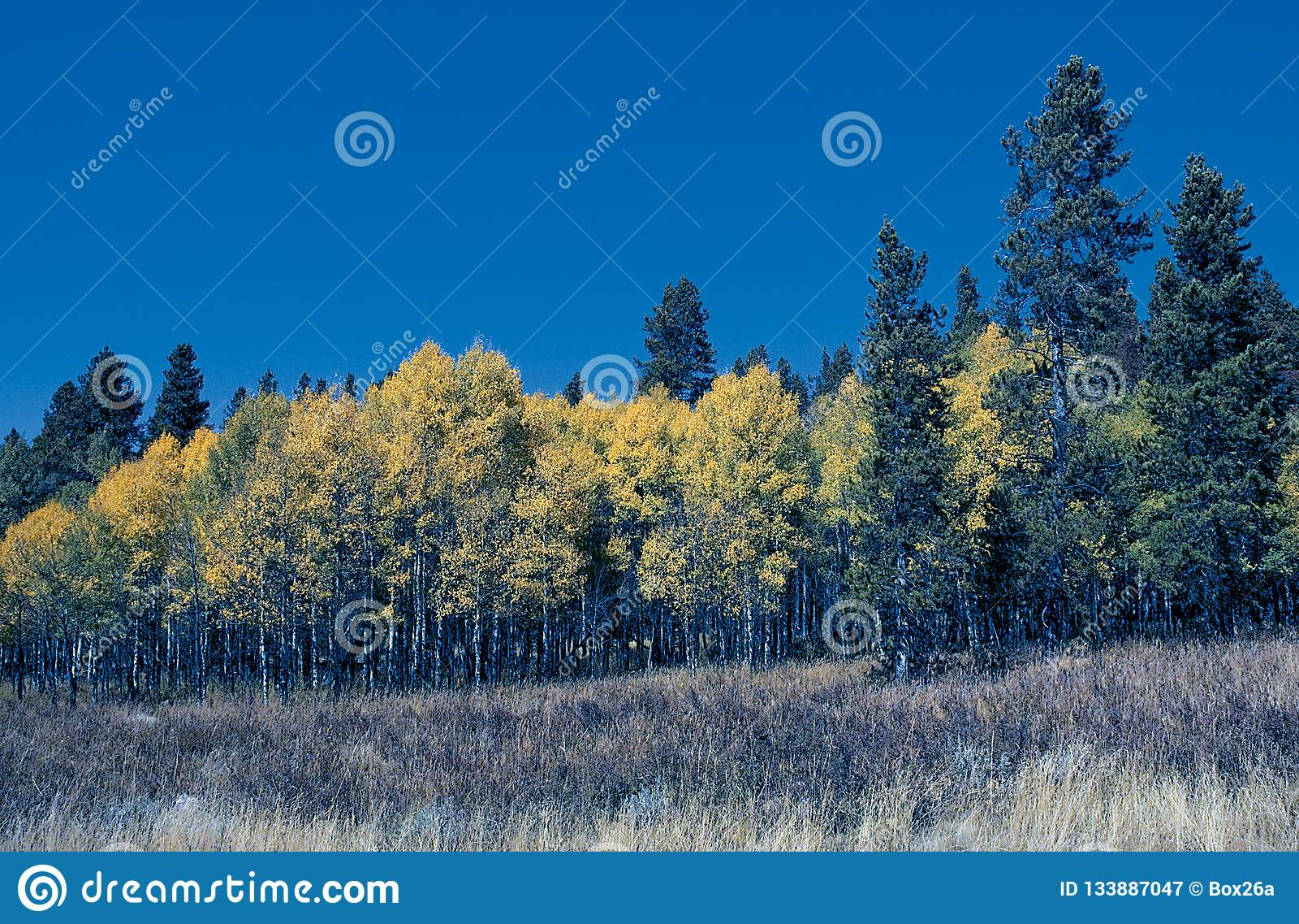 Suporte de Aspen Trees com Evergreens