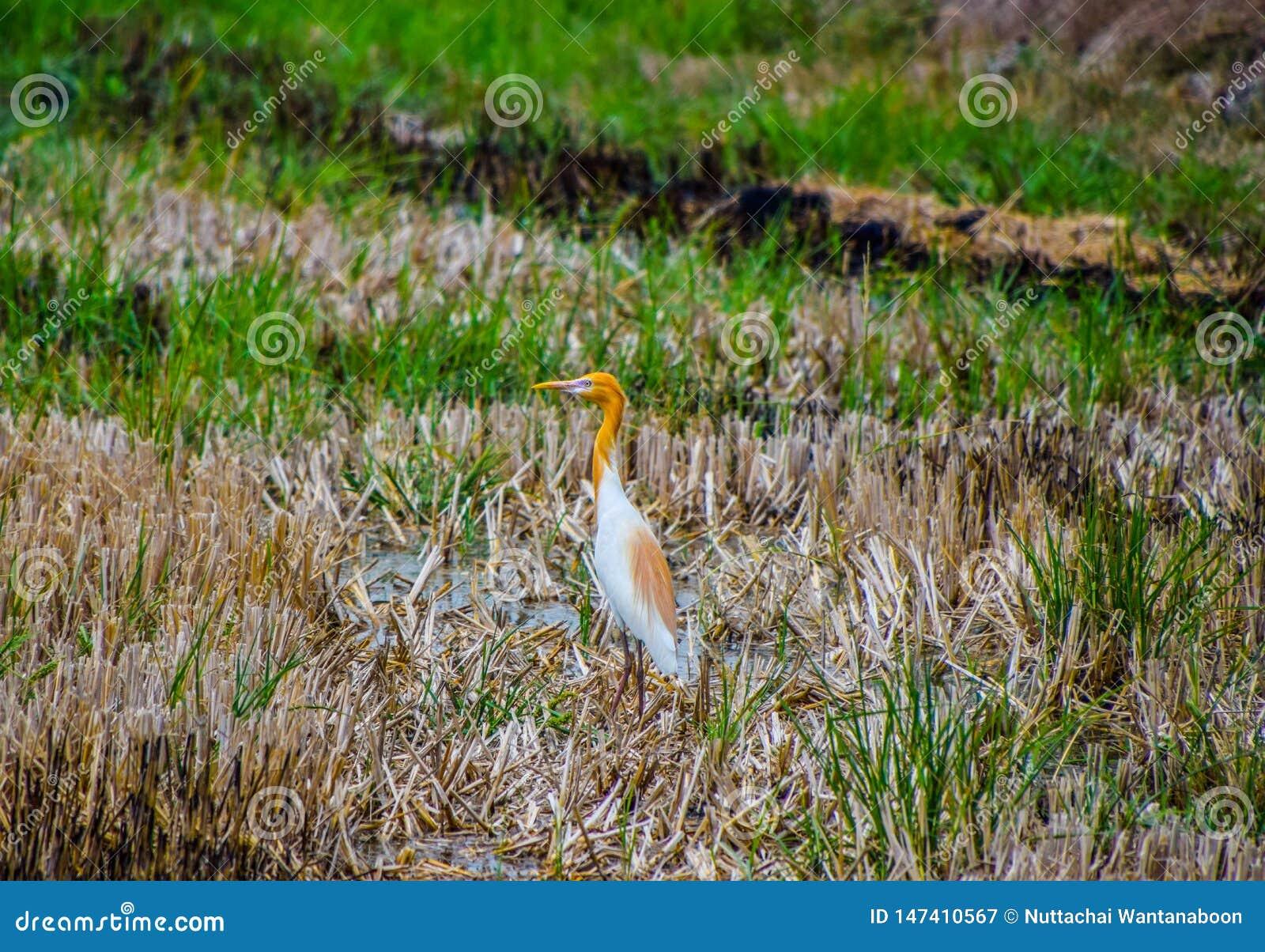 Suporte do pássaro do egret de gado no meio dos campos do arroz colhidos para procurar para o alimento