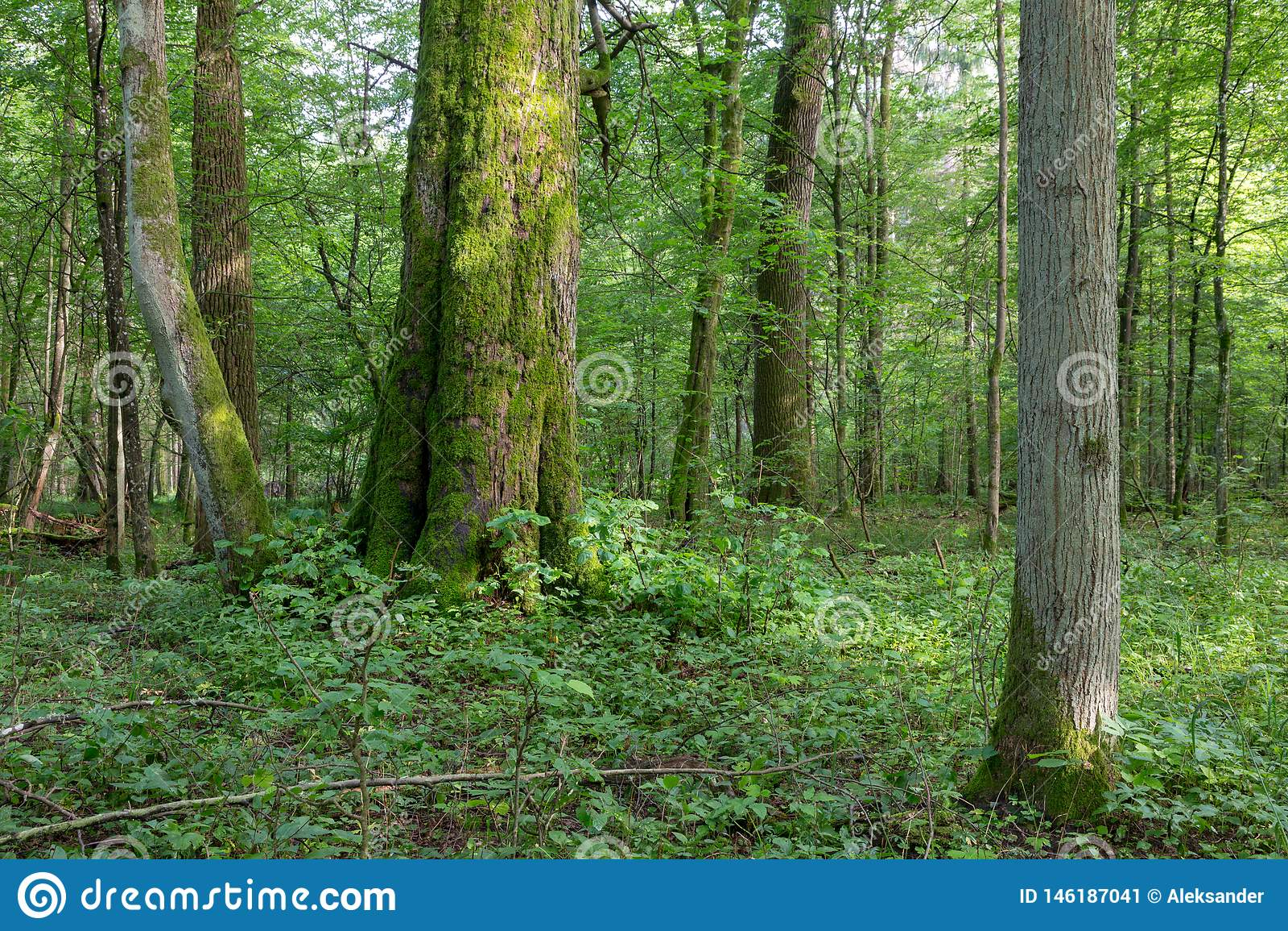 Suporte misturado natural da floresta de Bialowieza