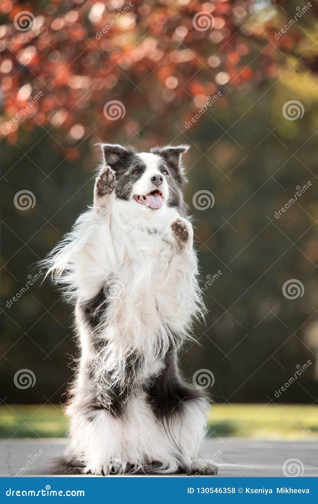 Suporte preto e branco de border collie do cão do retrato em duas patas