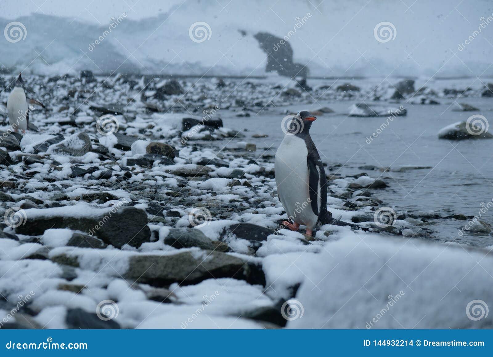 Suportes dos pinguins da Antártica Gentoo na praia rochosa nevado após a caça