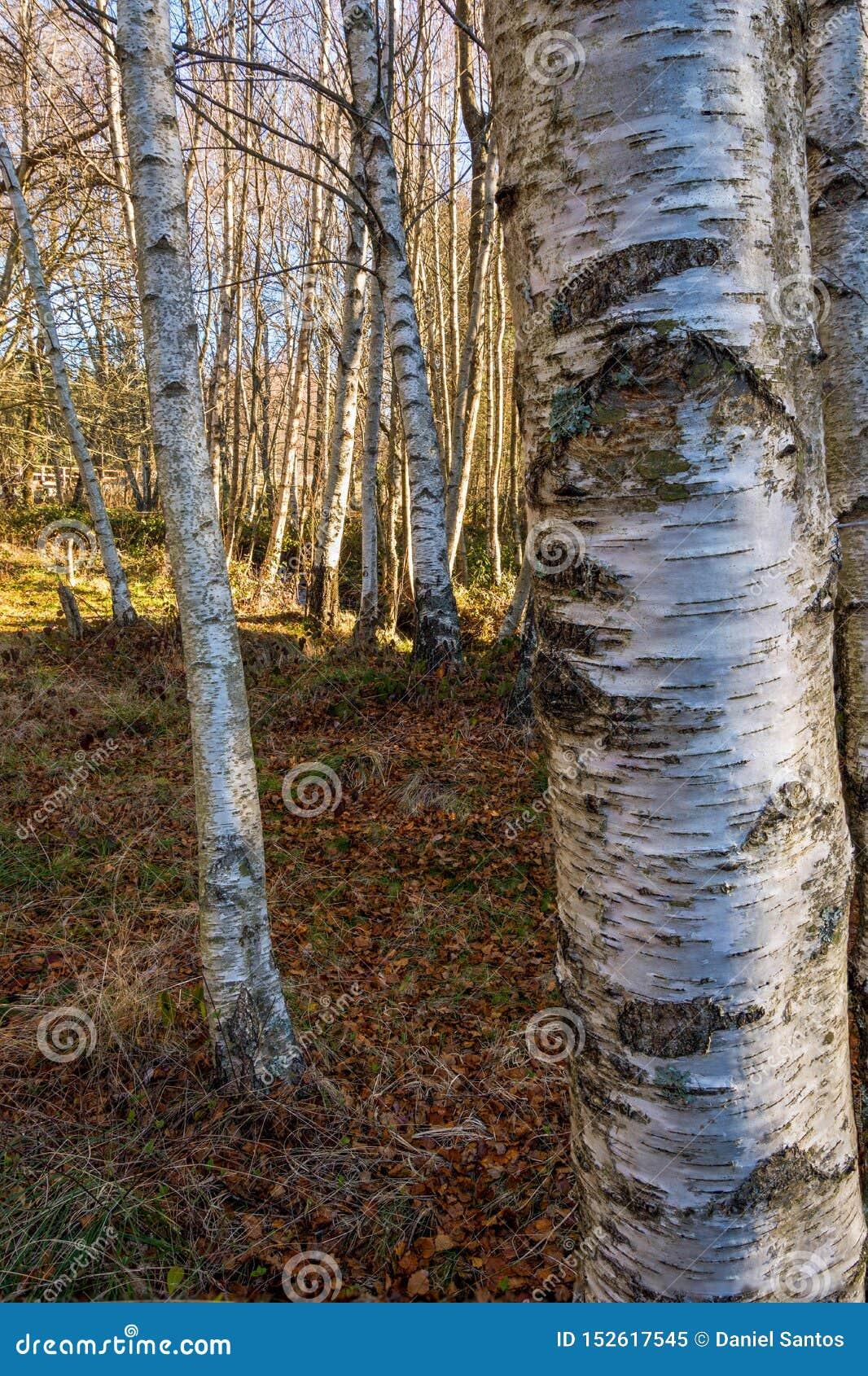 Suppengrünwaldschöne weiße Bäume und -boden umfasst mit Blättern