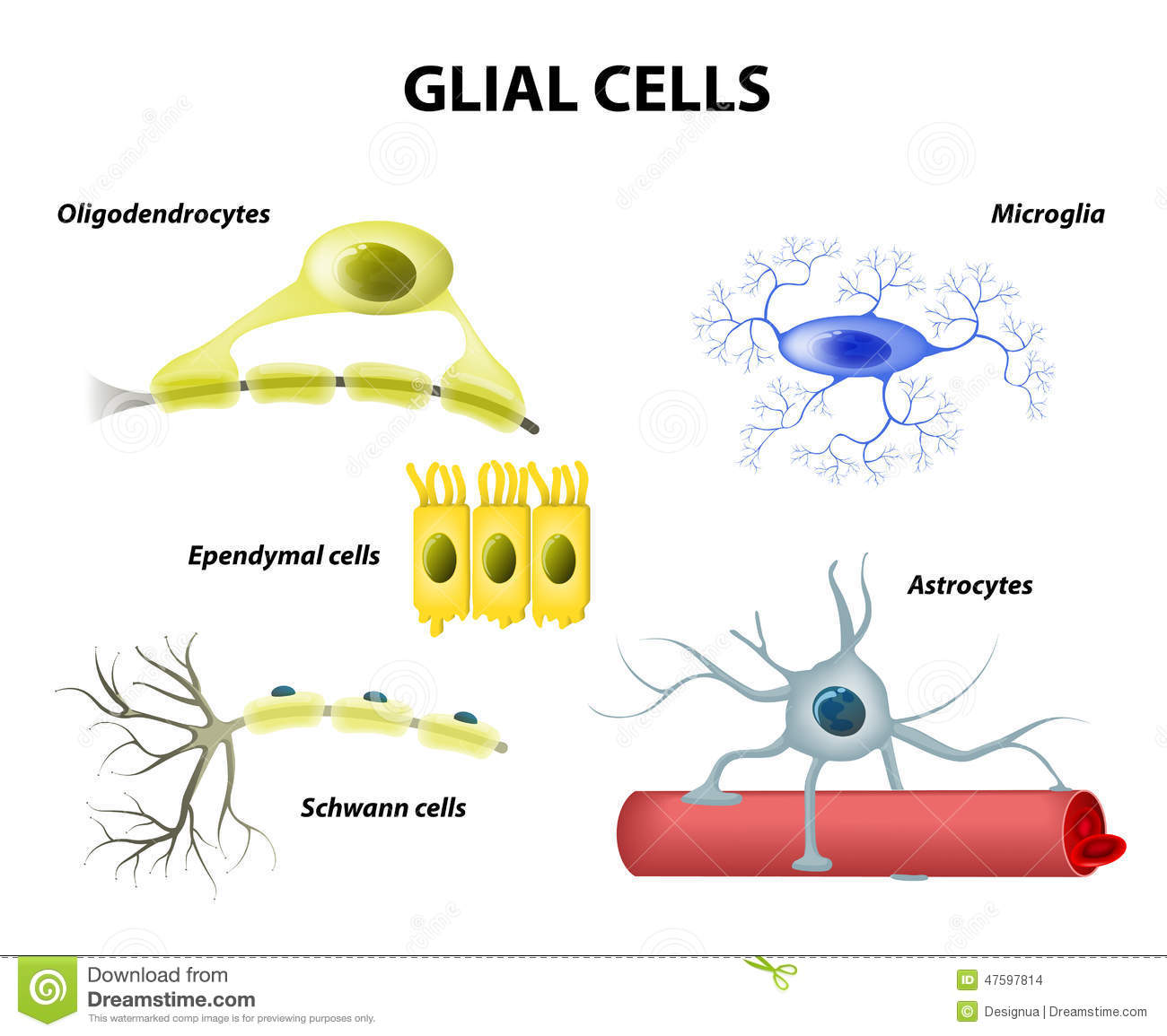 Image result for glial cells