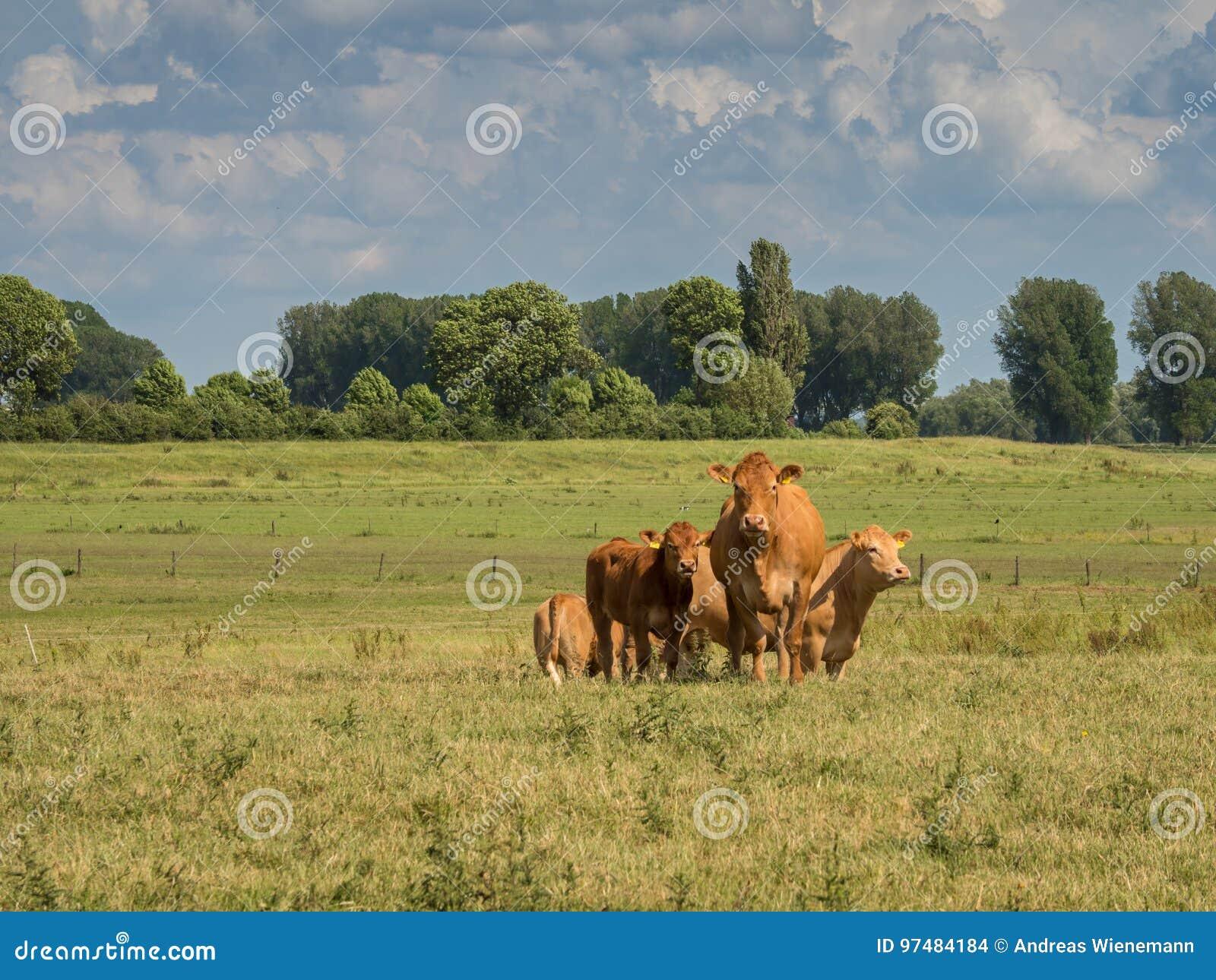 Supporto di una coppia di mucche su un prato