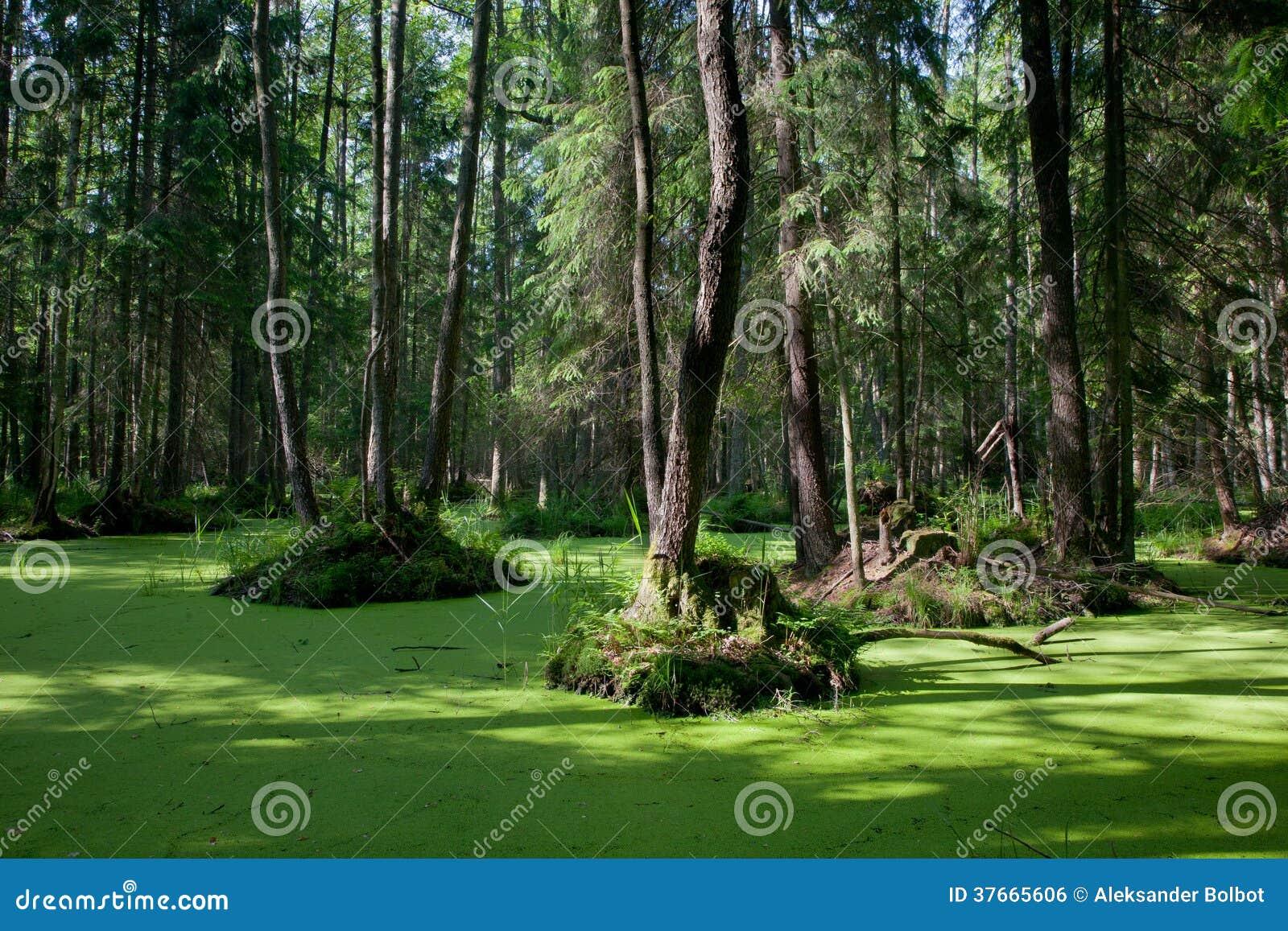 Supporto naturale della foresta di Bialowieza con acqua stagnante e la lemma comune