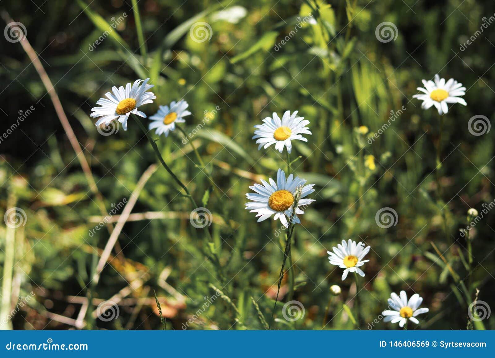 Sur le pré vert du beau plan rapproché de fleurs sauvages