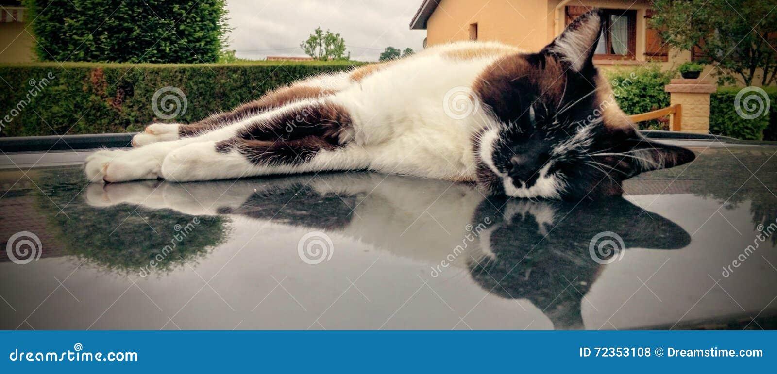 在汽车屋顶/闲谈sur le toit de la voiture的猫