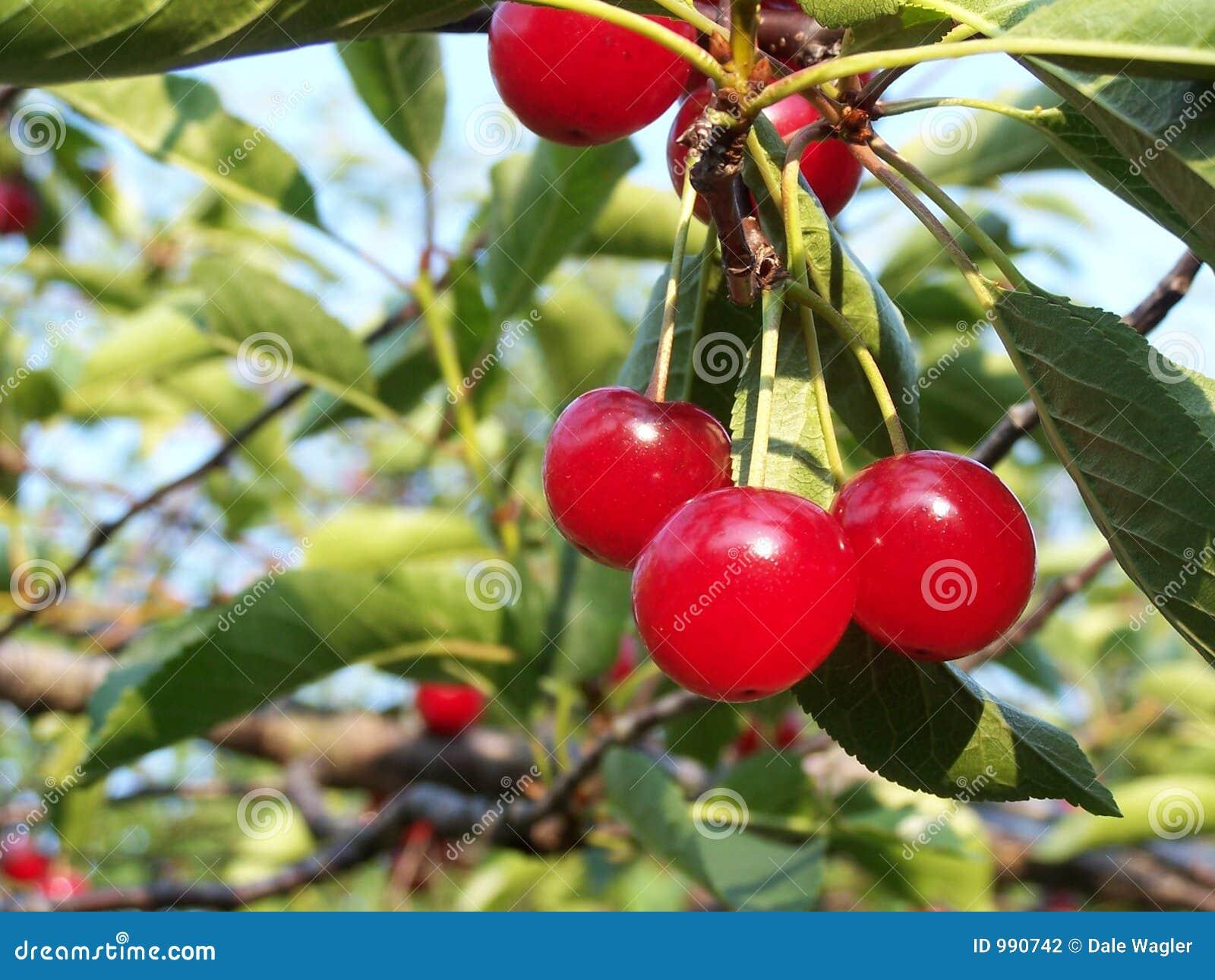 Sura Cherry